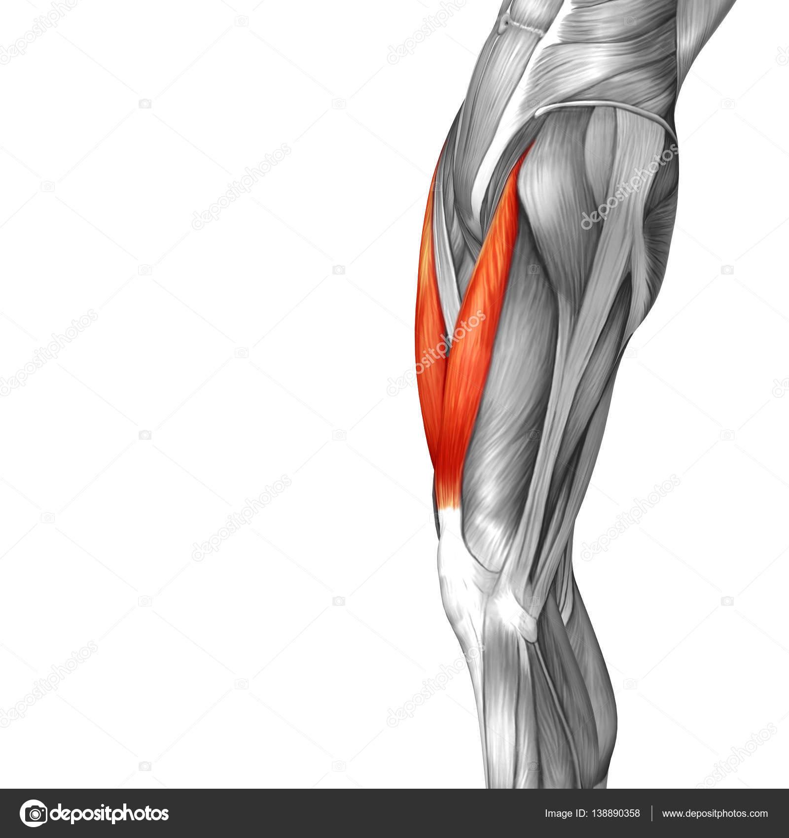 anatomía humana de la pierna superior — Foto de stock © design36 ...