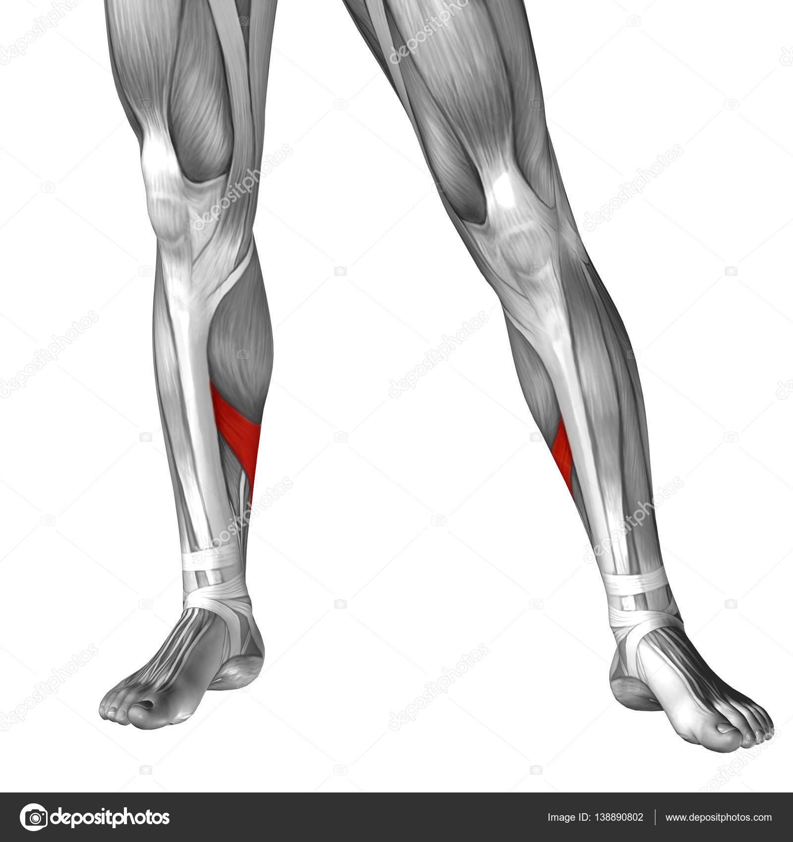 Anatomía de la pierna inferior — Fotos de Stock © design36 #138890802
