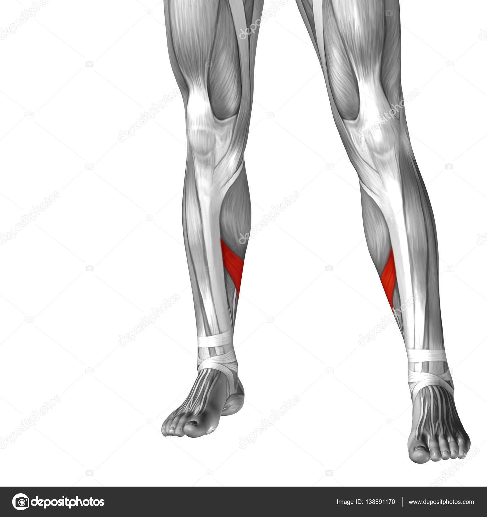Human Lower Leg Anatomy Stock Photo Design36 138891170