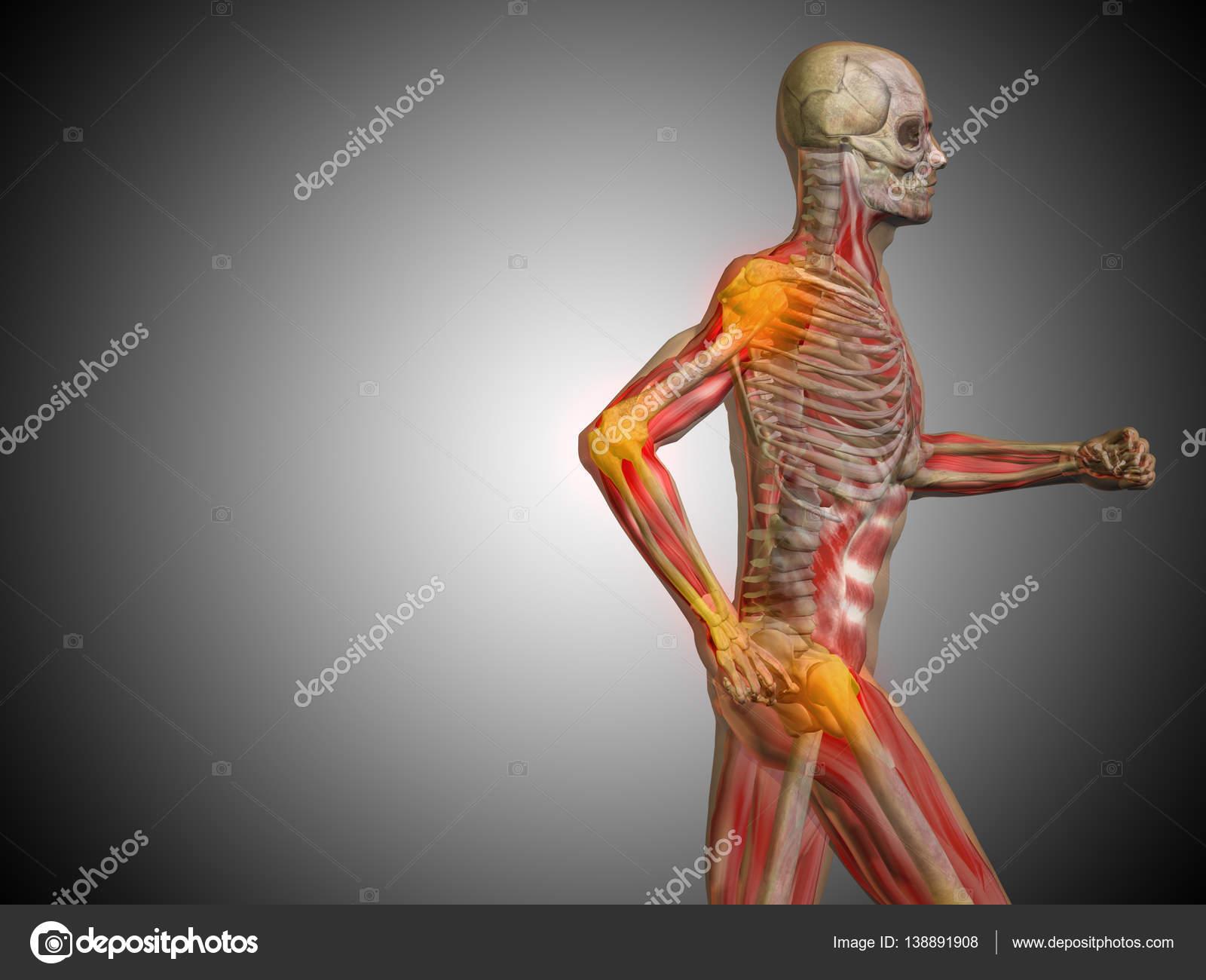 Illustration des menschlichen Körpers-Anatomie — Stockfoto ...