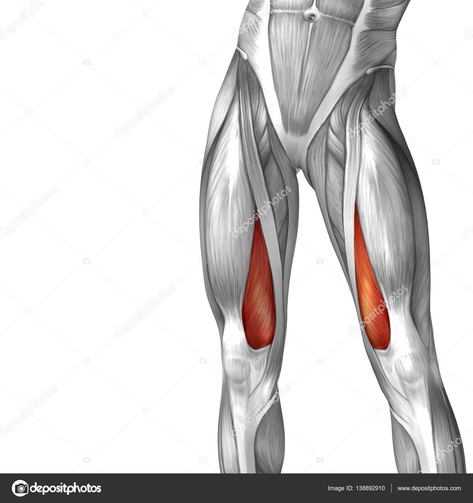 human upper leg anatomy — Stock Photo © design36 #138892910