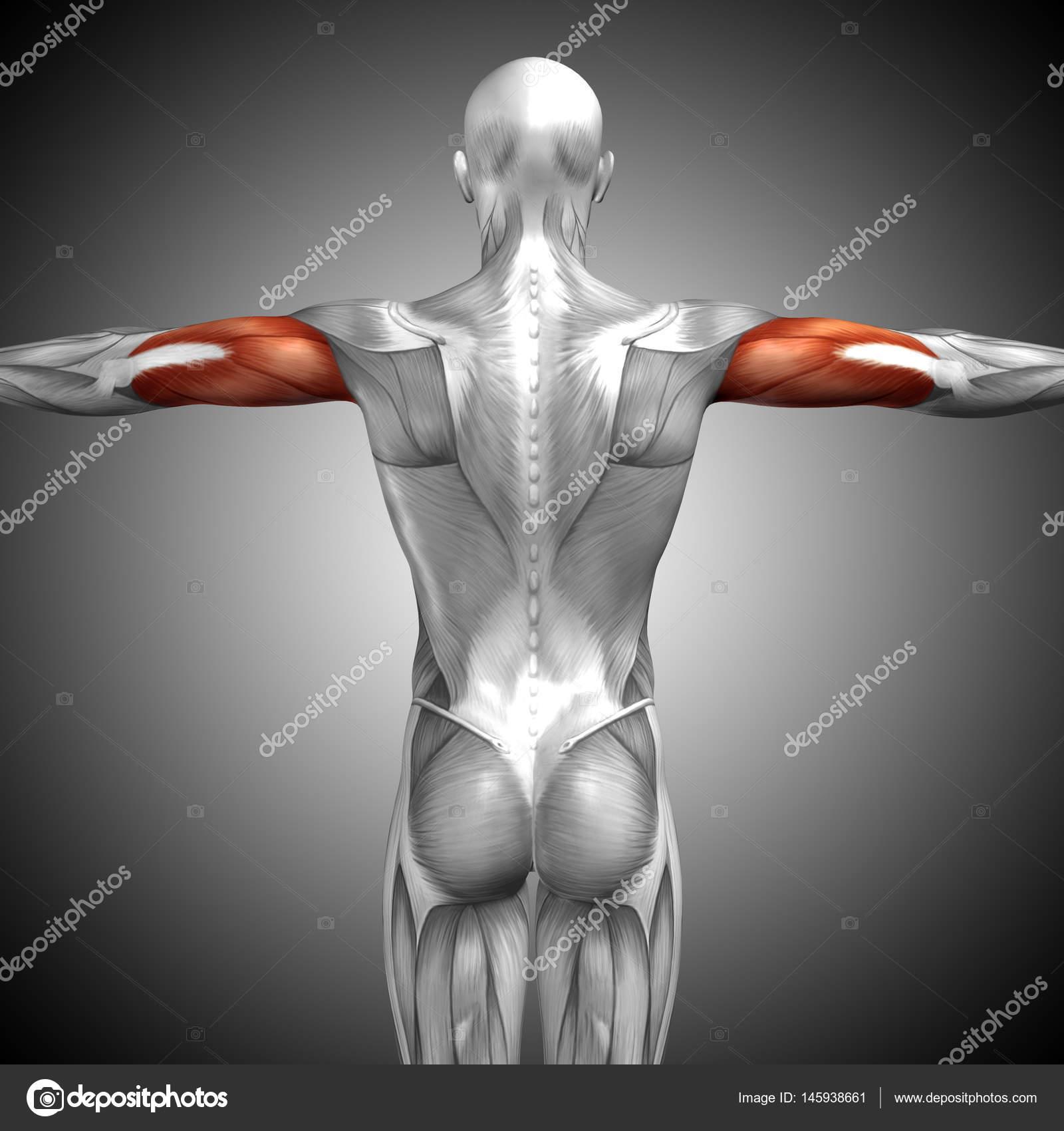 Anatomische Konzept 3d Illustration — Stockfoto © design36 #145938661
