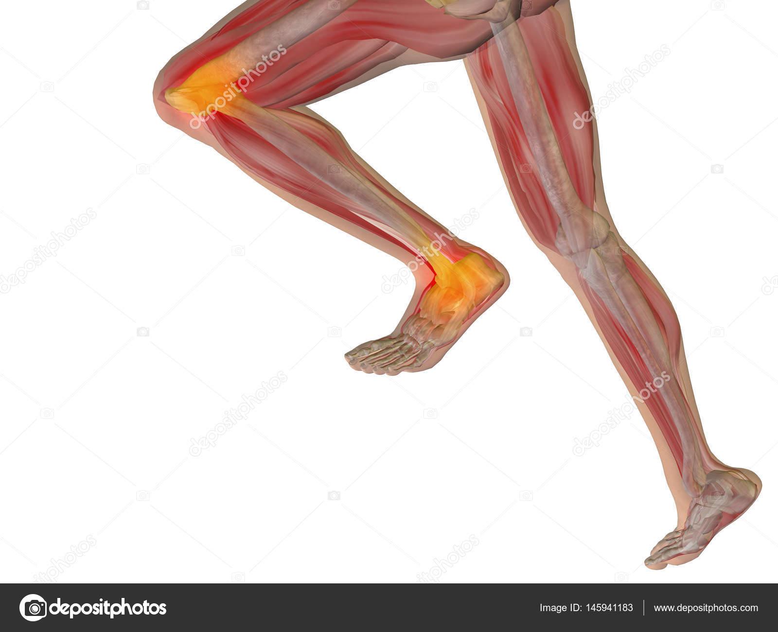 menschliche Anatomie Modell — Stockfoto © design36 #145941183