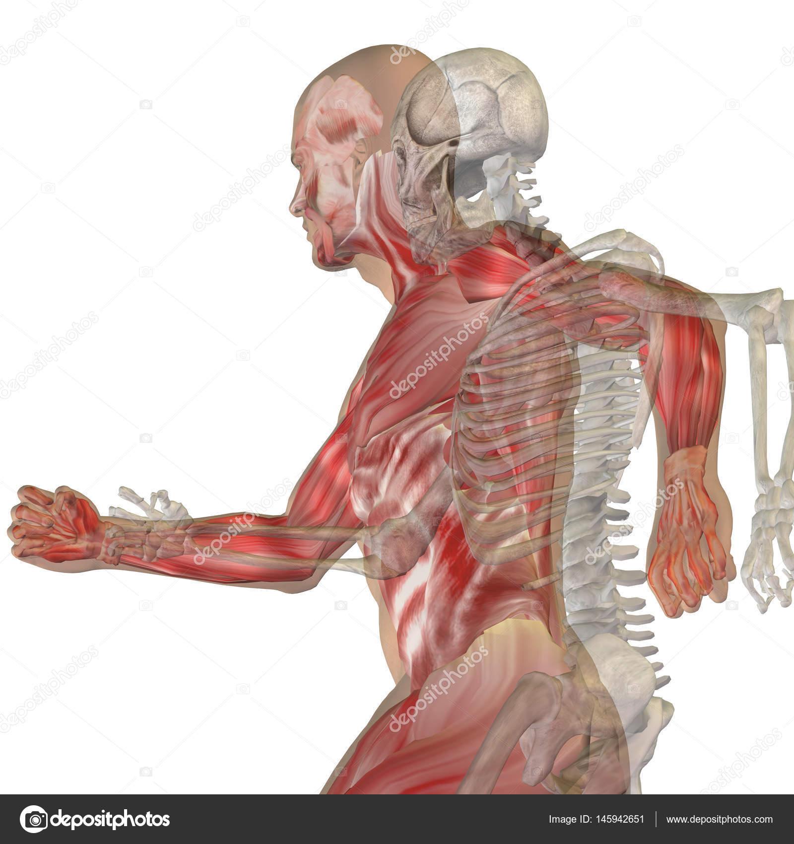 menschliche Anatomie Modell — Stockfoto © design36 #145942651
