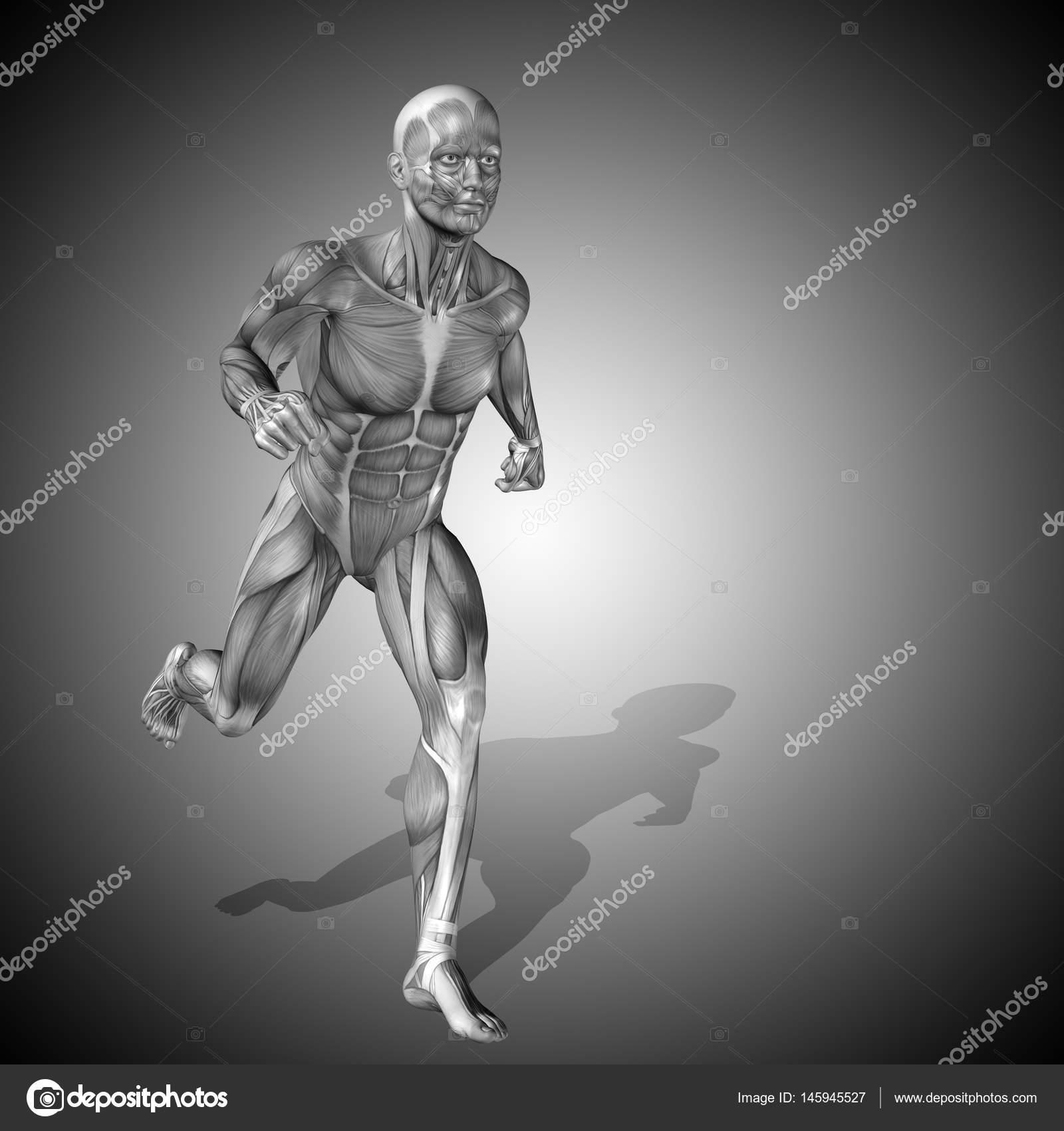 menschliche Anatomie Modell — Stockfoto © design36 #145945527