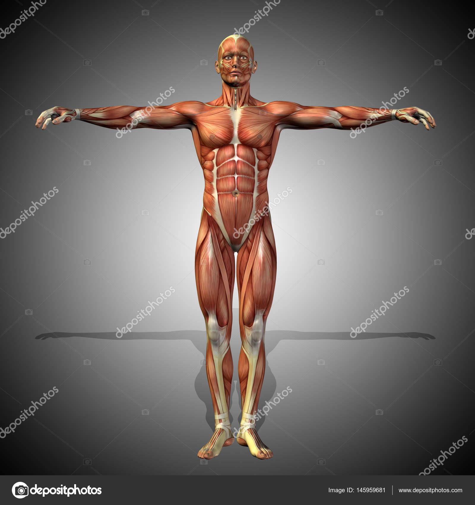 menschliche Anatomie Modell — Stockfoto © design36 #145959681