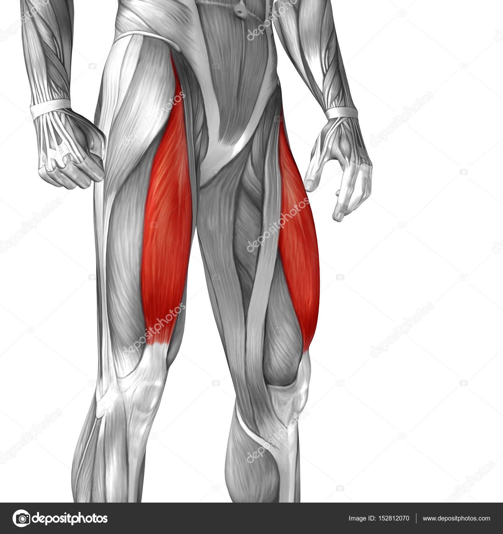 Human Upper Legs Anatomy Stock Photo Design36 152812070