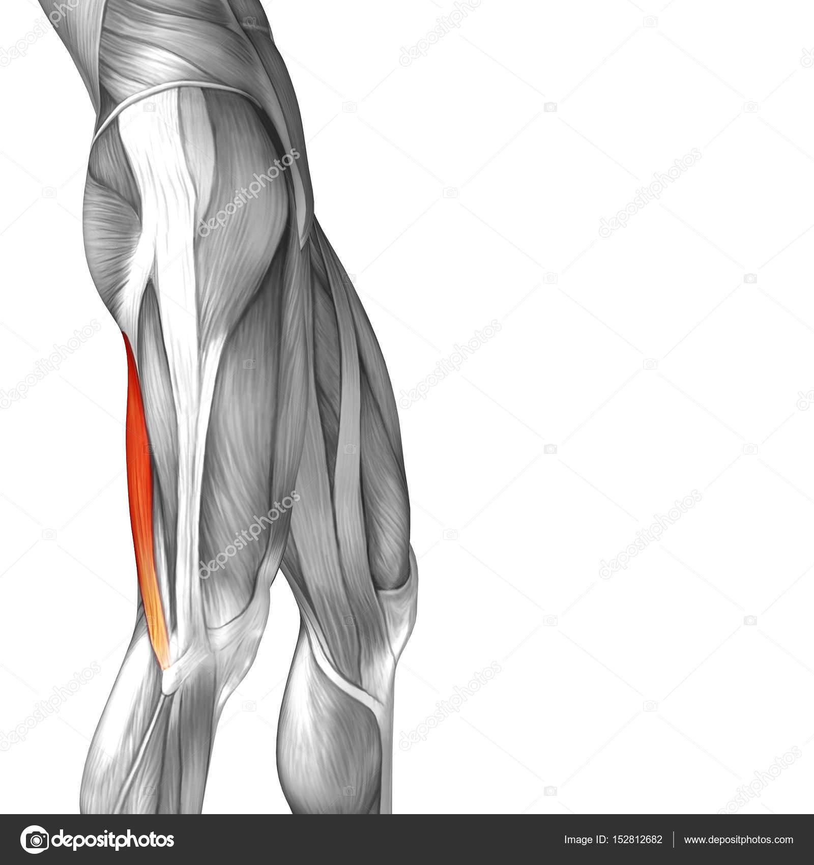 menschliche Oberschenkel-Anatomie — Stockfoto © design36 #152812682