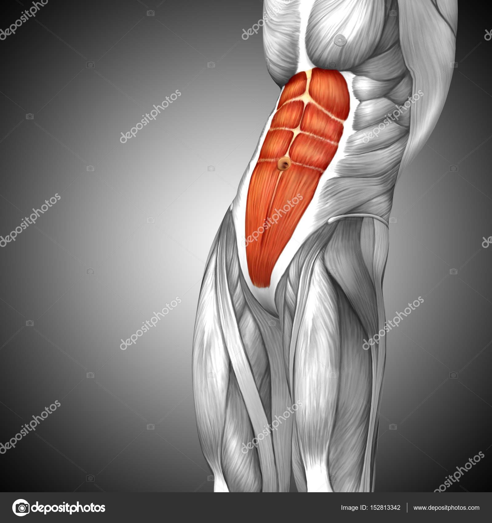 Anatomie der menschlichen Brust — Stockfoto © design36 #152813342