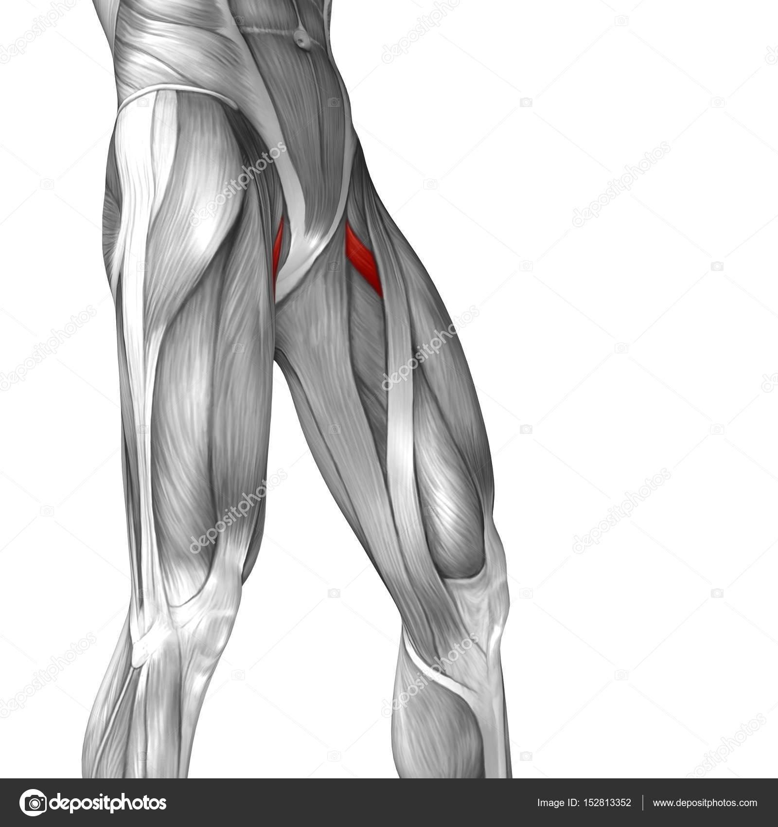 anatomía humana piernas superiores — Foto de stock © design36 #152813352
