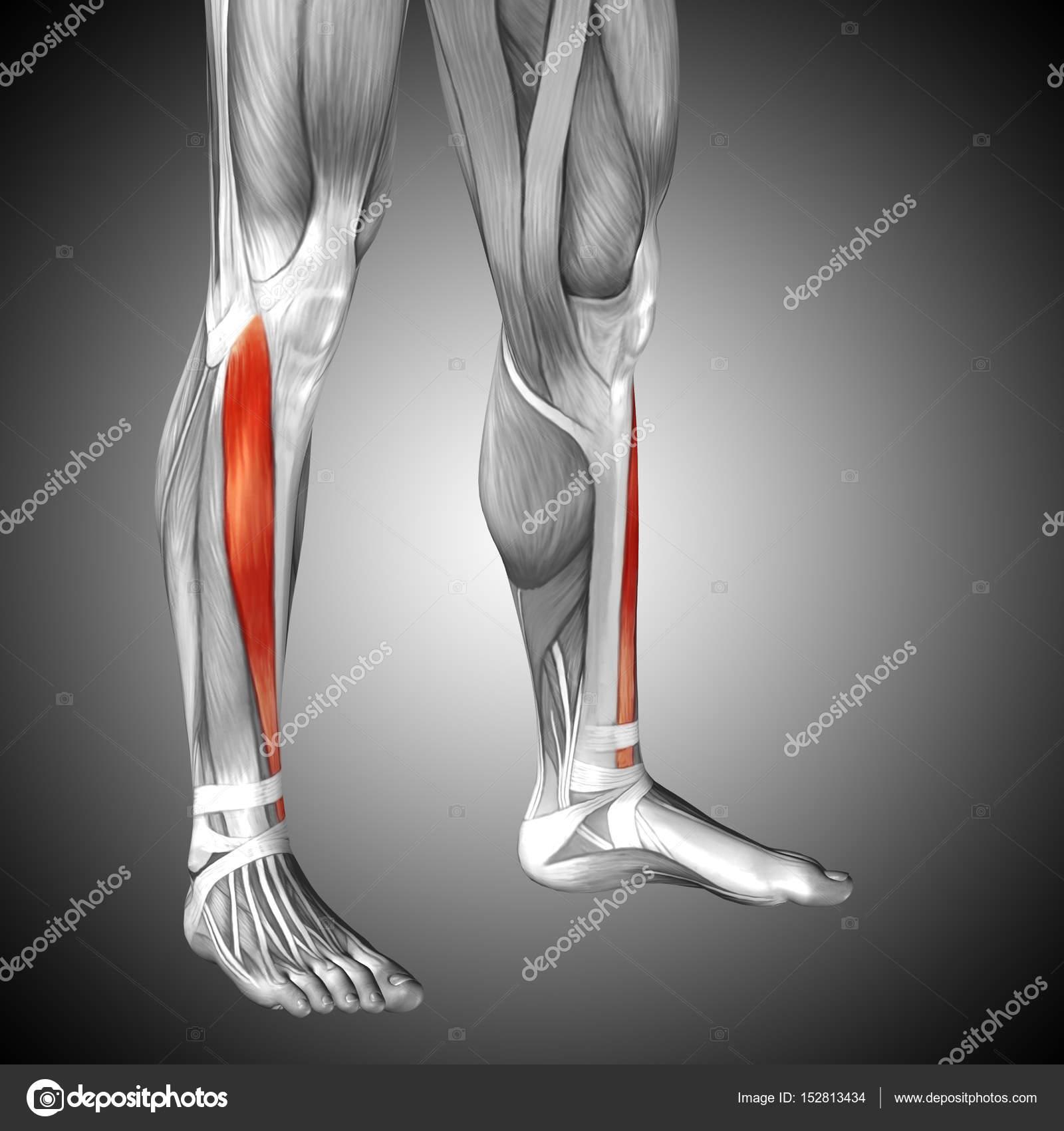 Anatomía de las piernas más baja — Fotos de Stock © design36 #152813434