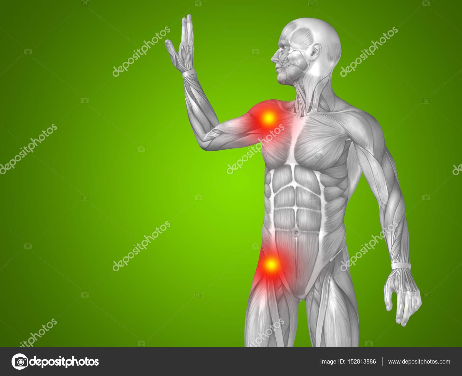 male upper body anatomy — Stock Photo © design36 #152813886