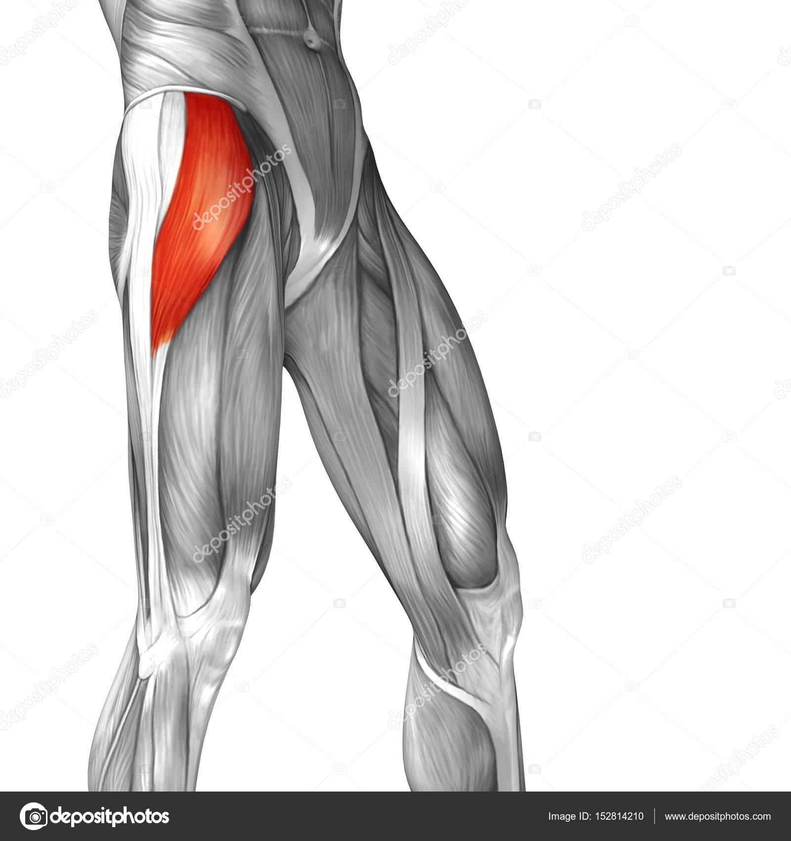 menschliche Oberschenkel-Anatomie — Stockfoto © design36 #152814210