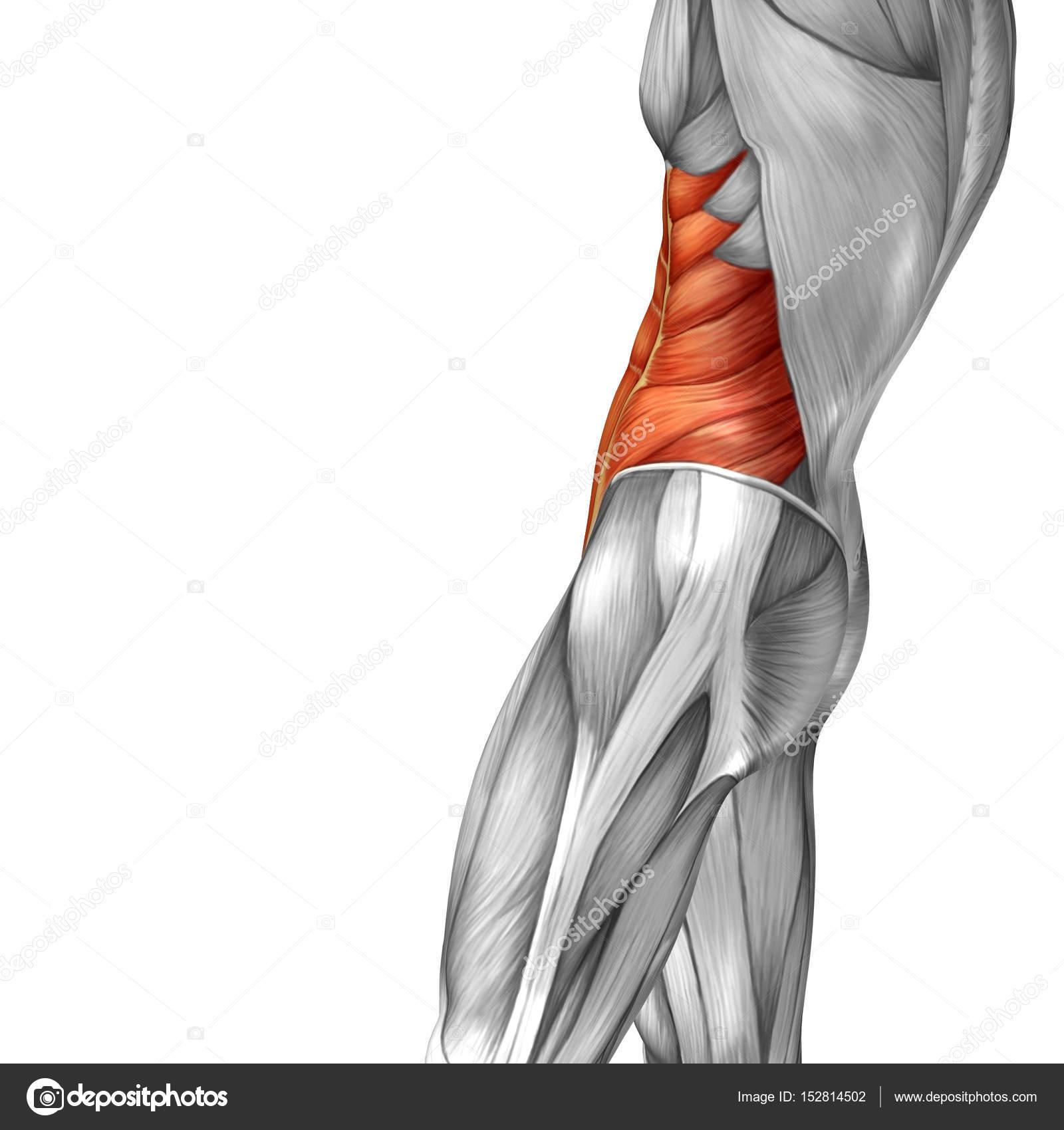 menschliche Bauchfell Anatomie — Stockfoto © design36 #152814502