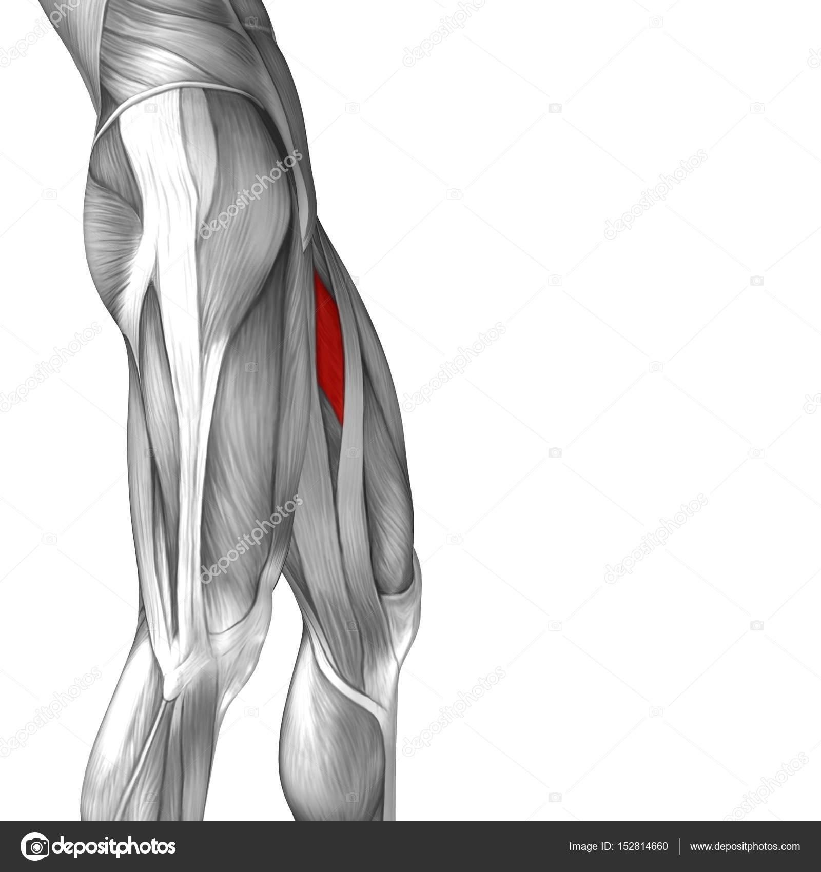 menschliche Oberschenkel-Anatomie — Stockfoto © design36 #152814660