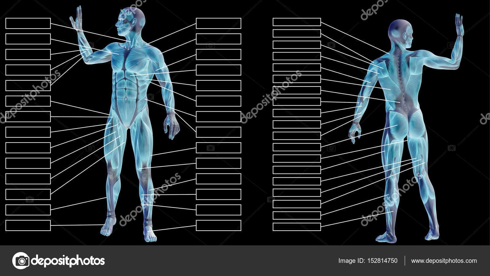 3D Mann menschlich Anatomie — Stockfoto © design36 #152814750