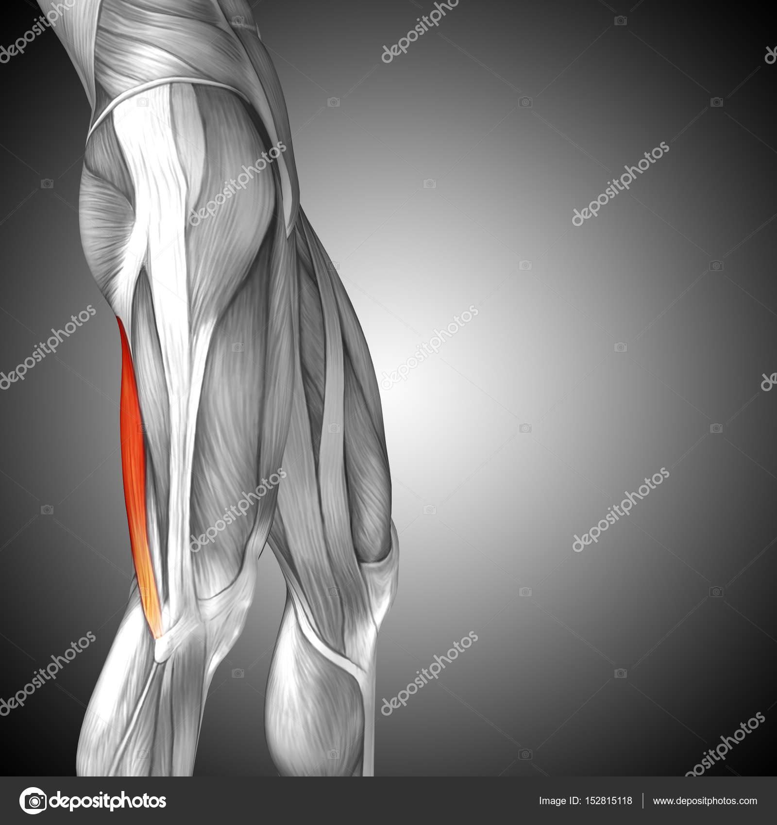 anatomía humana piernas superiores — Foto de stock © design36 #152815118