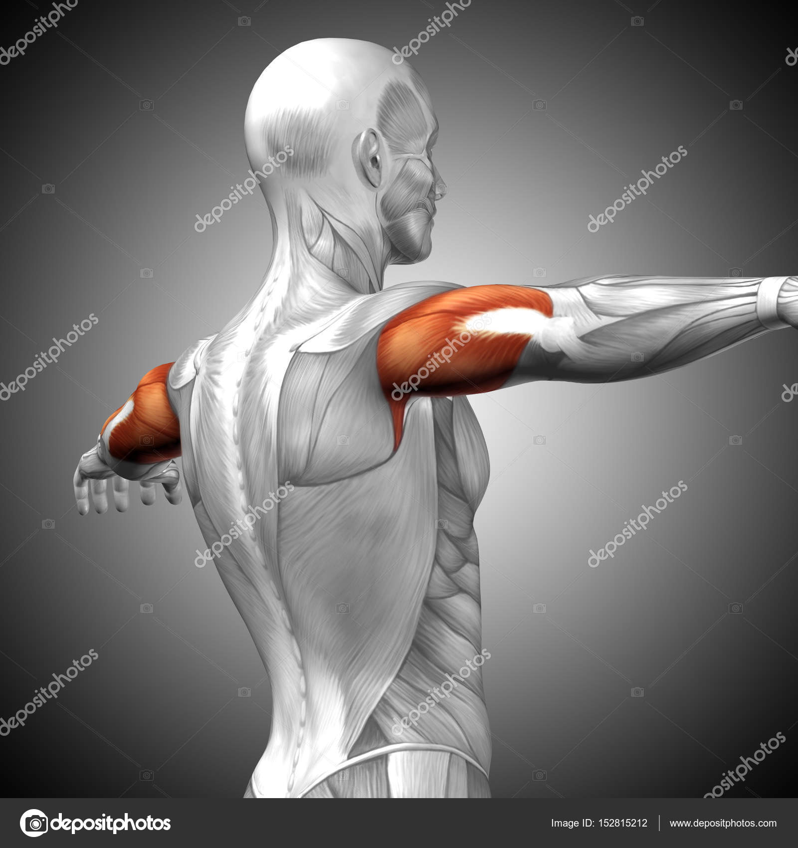 Human Triceps Muscles Anatomy Stock Photo Design36 152815212