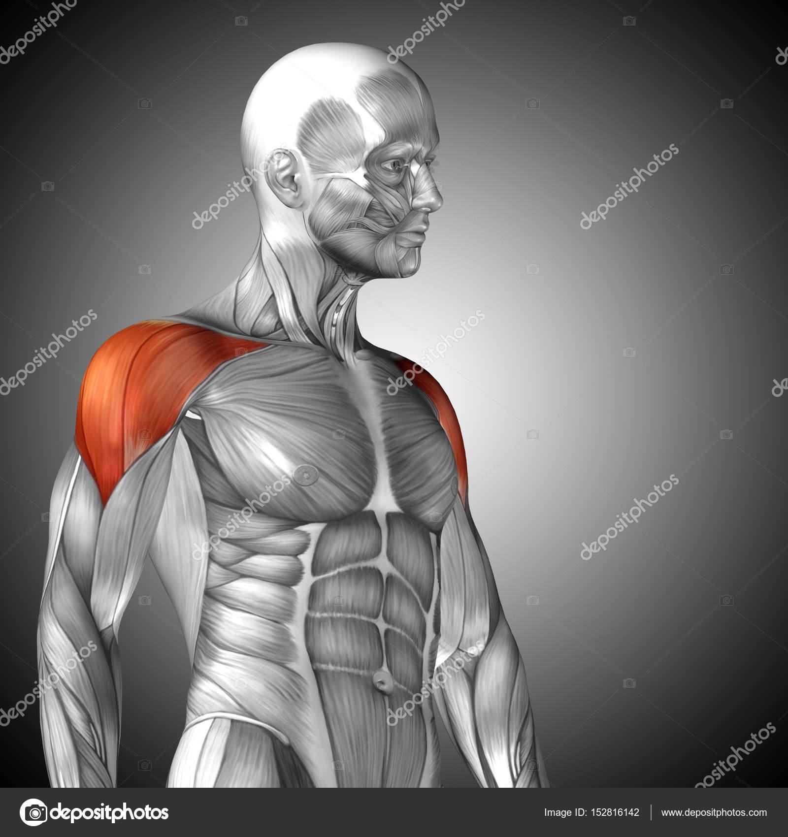 Anatomía del pecho humano — Foto de stock © design36 #152816142