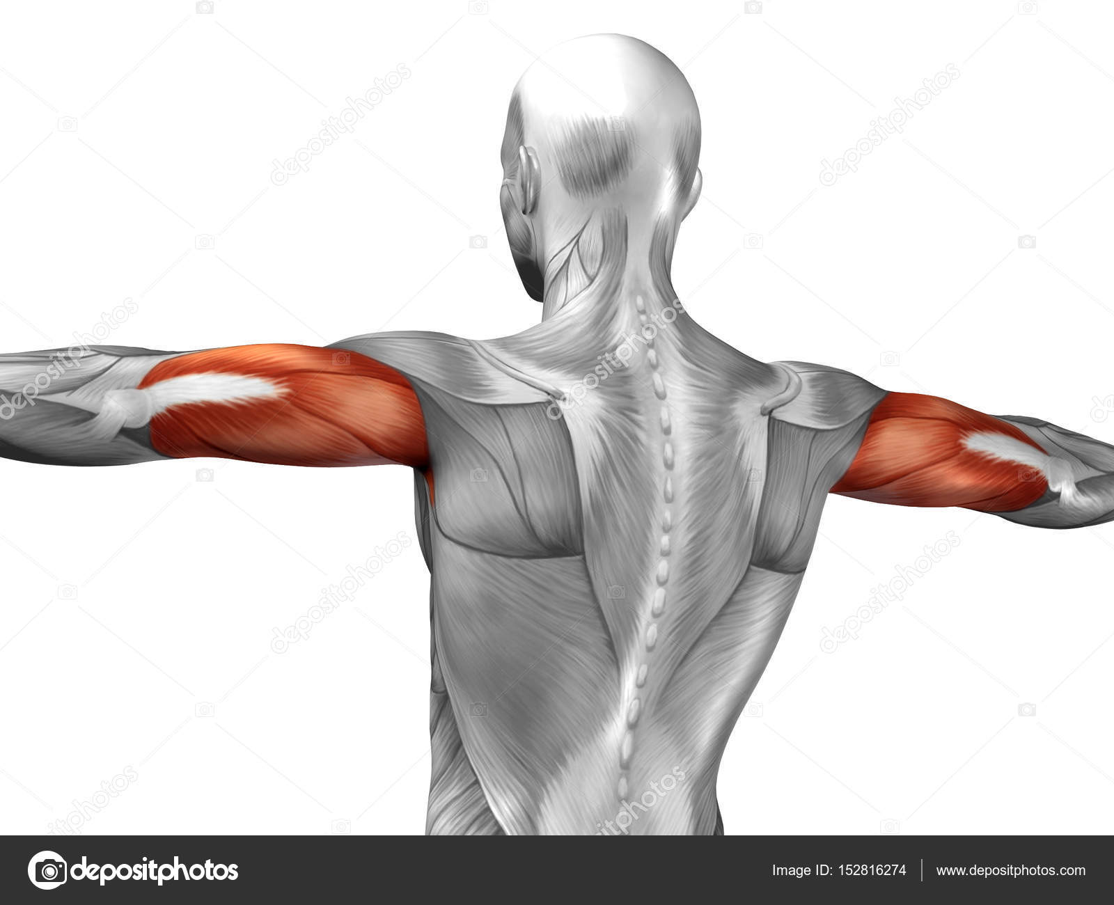 human triceps muscles anatomy — Stock Photo © design36 #152816274