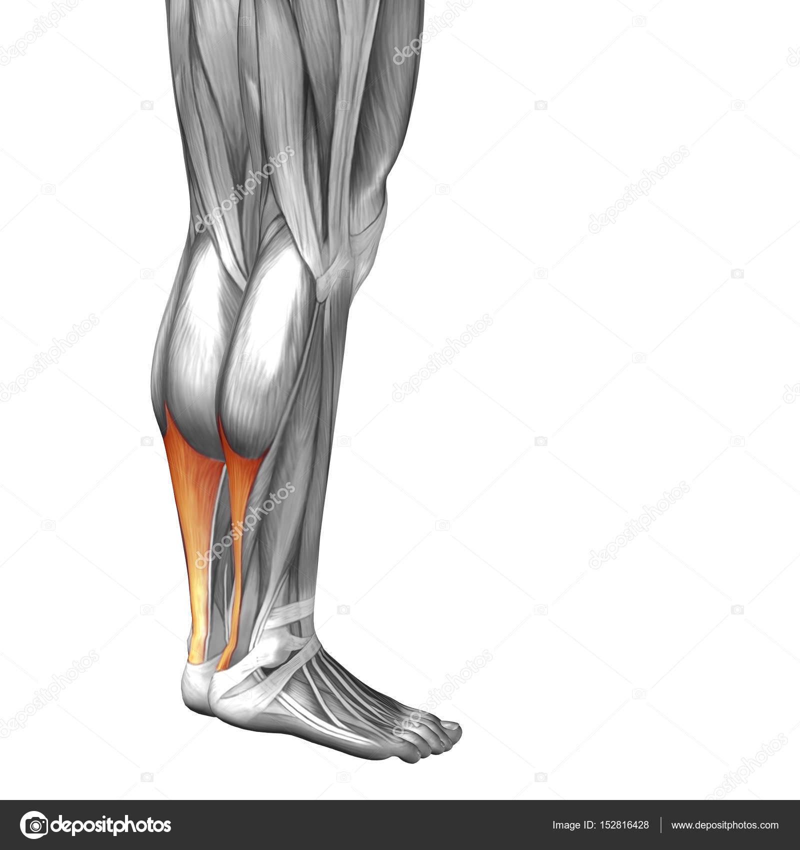 Human Lower Legs Anatomy Stock Photo Design36 152816428