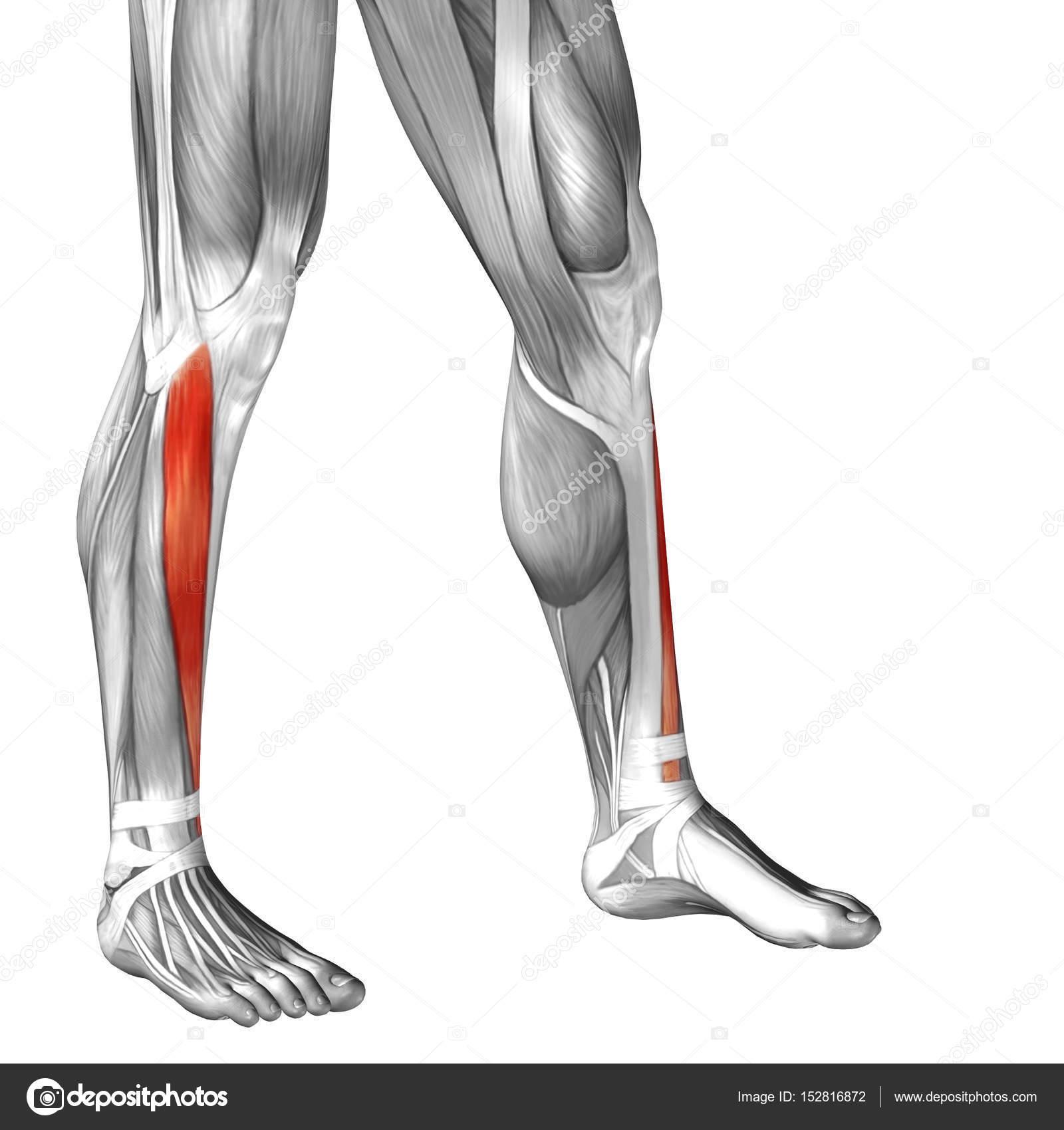 Human Lower Legs Anatomy Stock Photo Design36 152816872