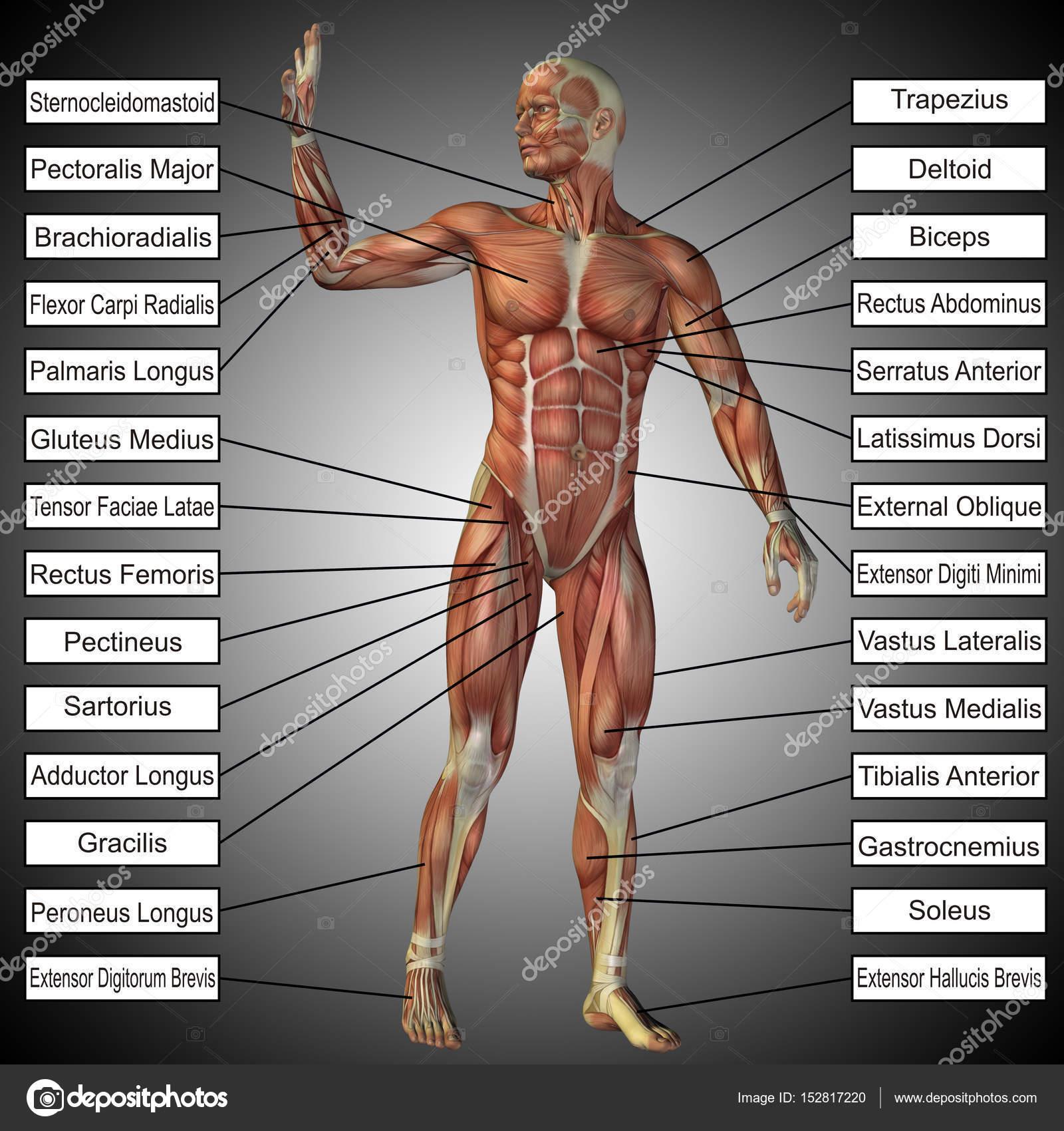 männlich oder menschliche Anatomie — Stockfoto © design36 #152817220