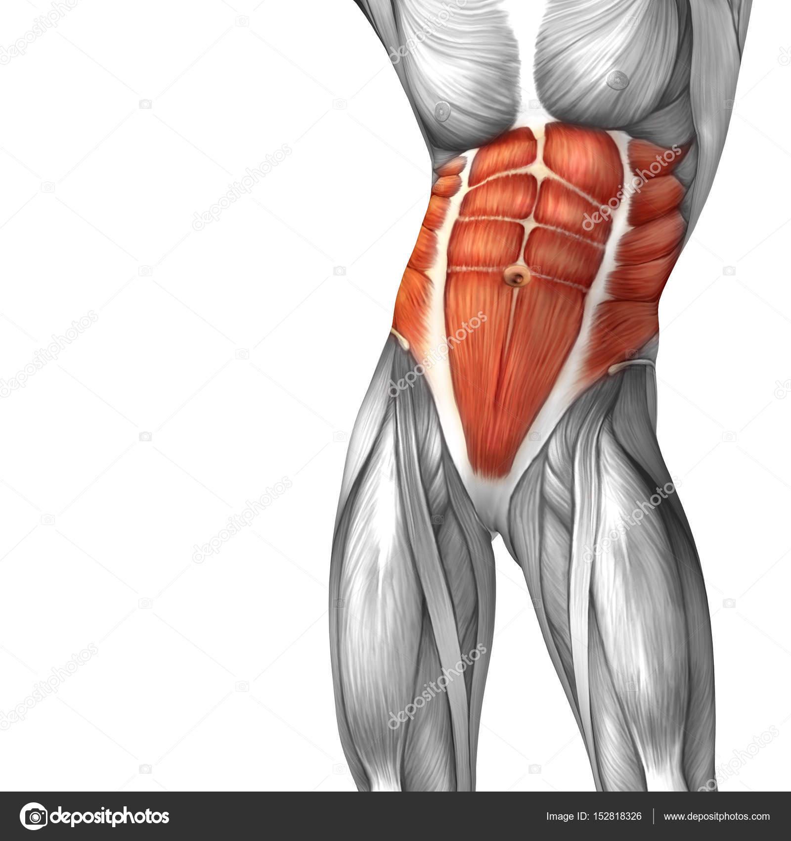 menschliche Bauchfell Anatomie — Stockfoto © design36 #152818326