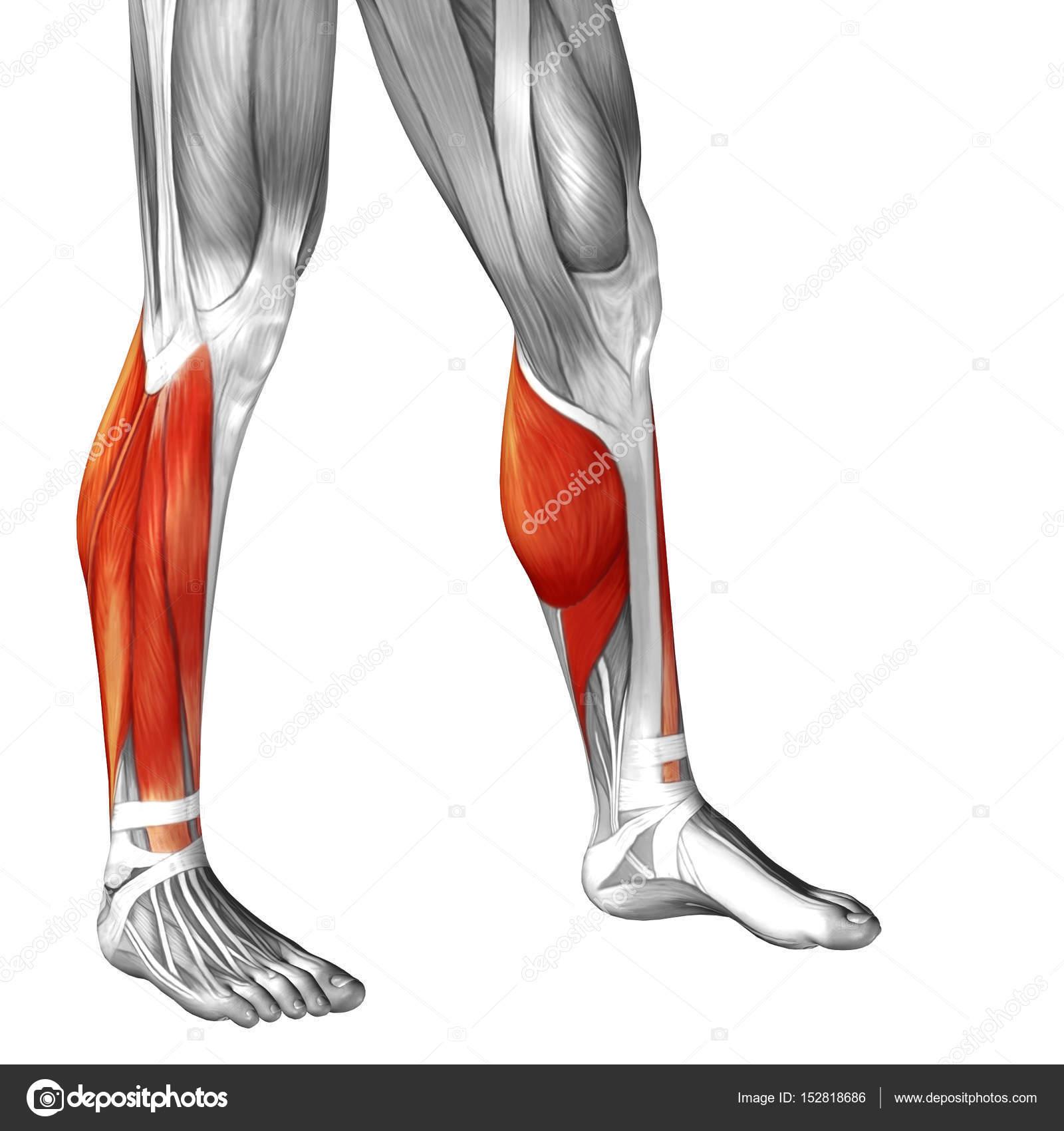 Anatomie der unteren Beine — Stockfoto © design36 #152818686