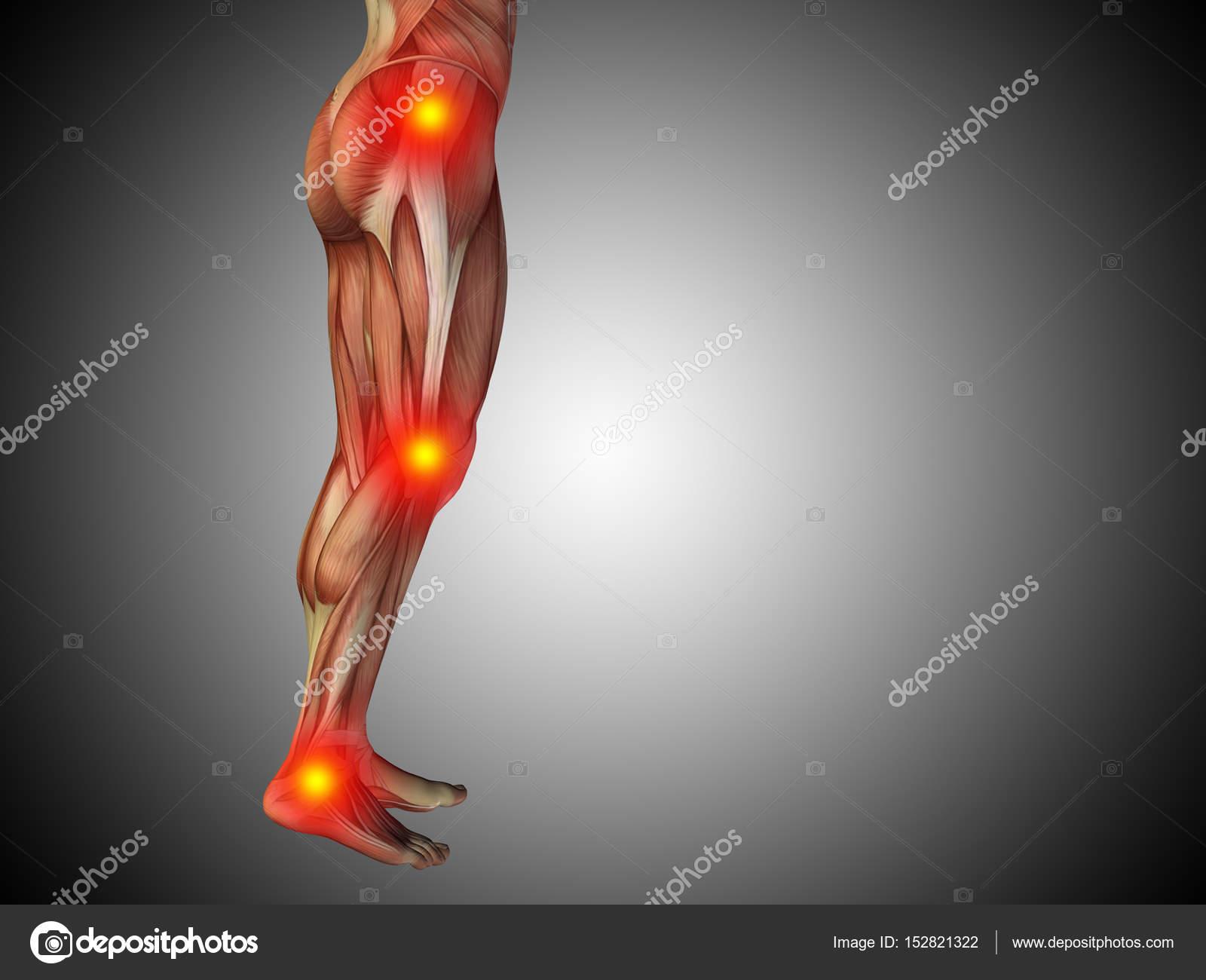 Human Lower Body Anatomy Stock Photo Design36 152821322