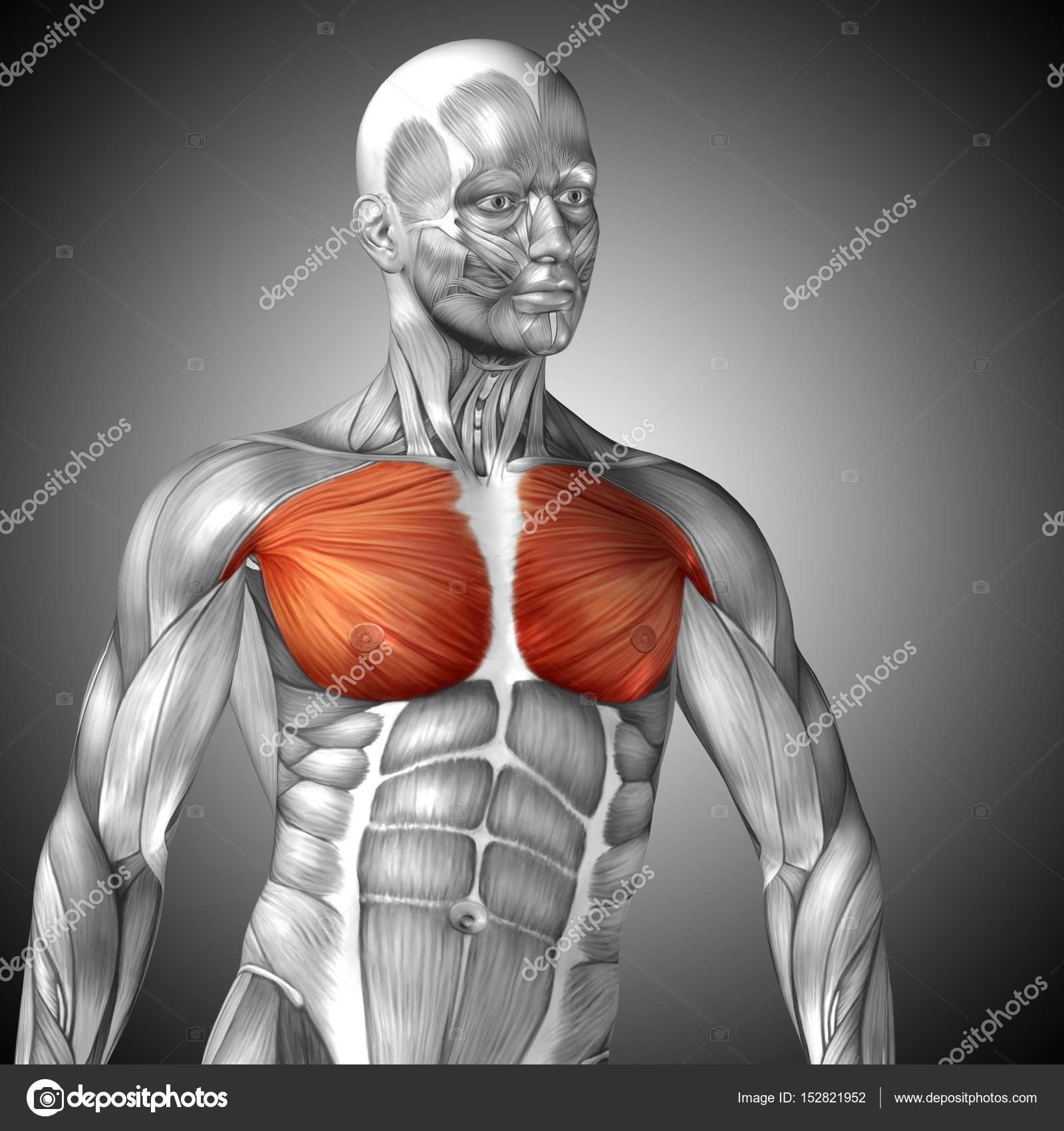 Anatomie der menschlichen Brust — Stockfoto © design36 #152821952