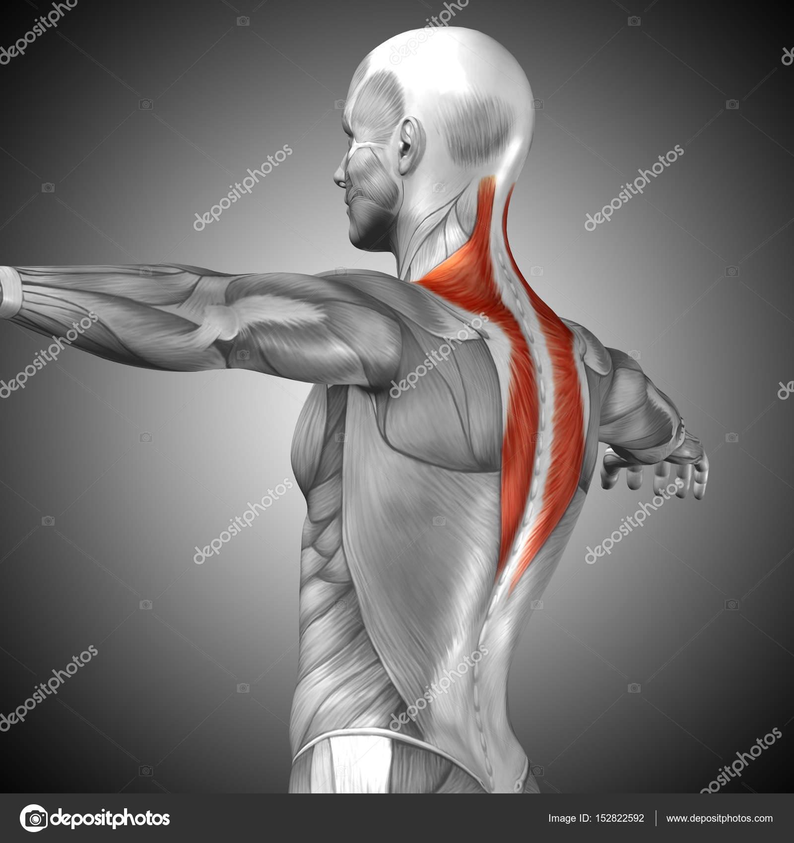 Anatomía de la espalda — Fotos de Stock © design36 #152822592