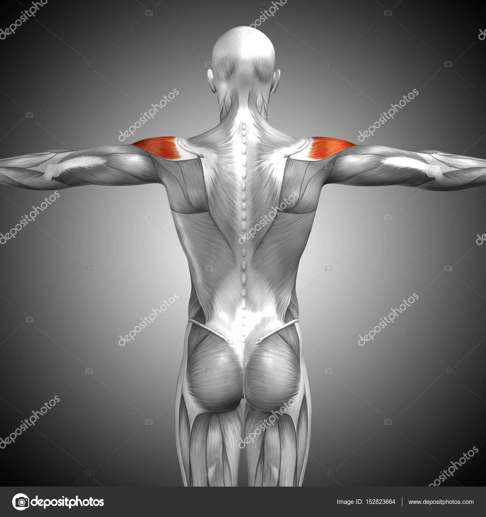 Anatomía de la espalda — Foto de stock © design36 #152823664