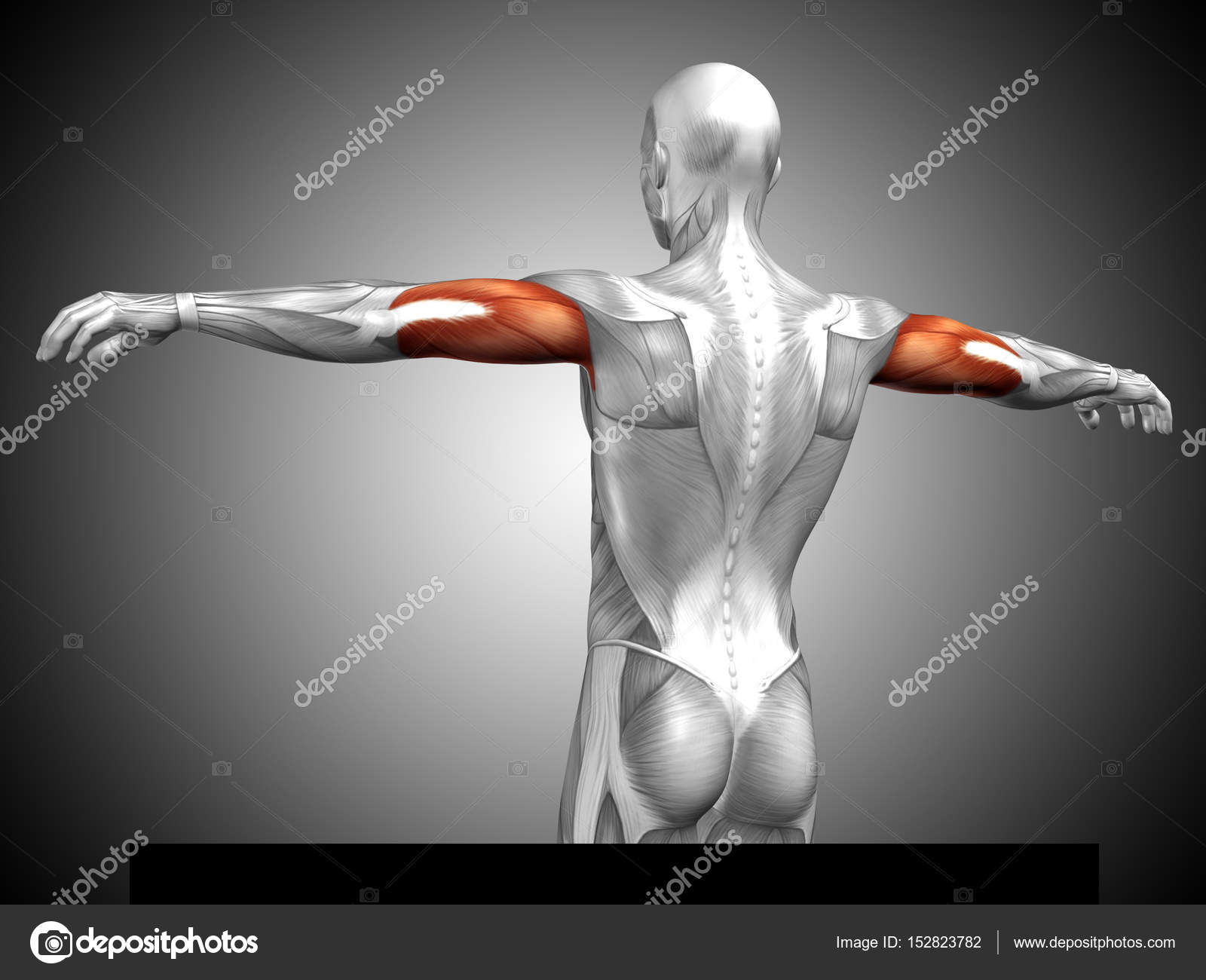human triceps muscles anatomy — Stock Photo © design36 #152823782