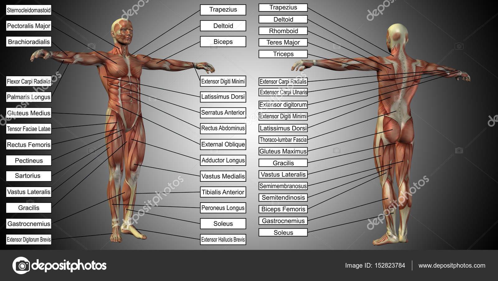 männlich oder menschliche Anatomie — Stockfoto © design36 #152823784