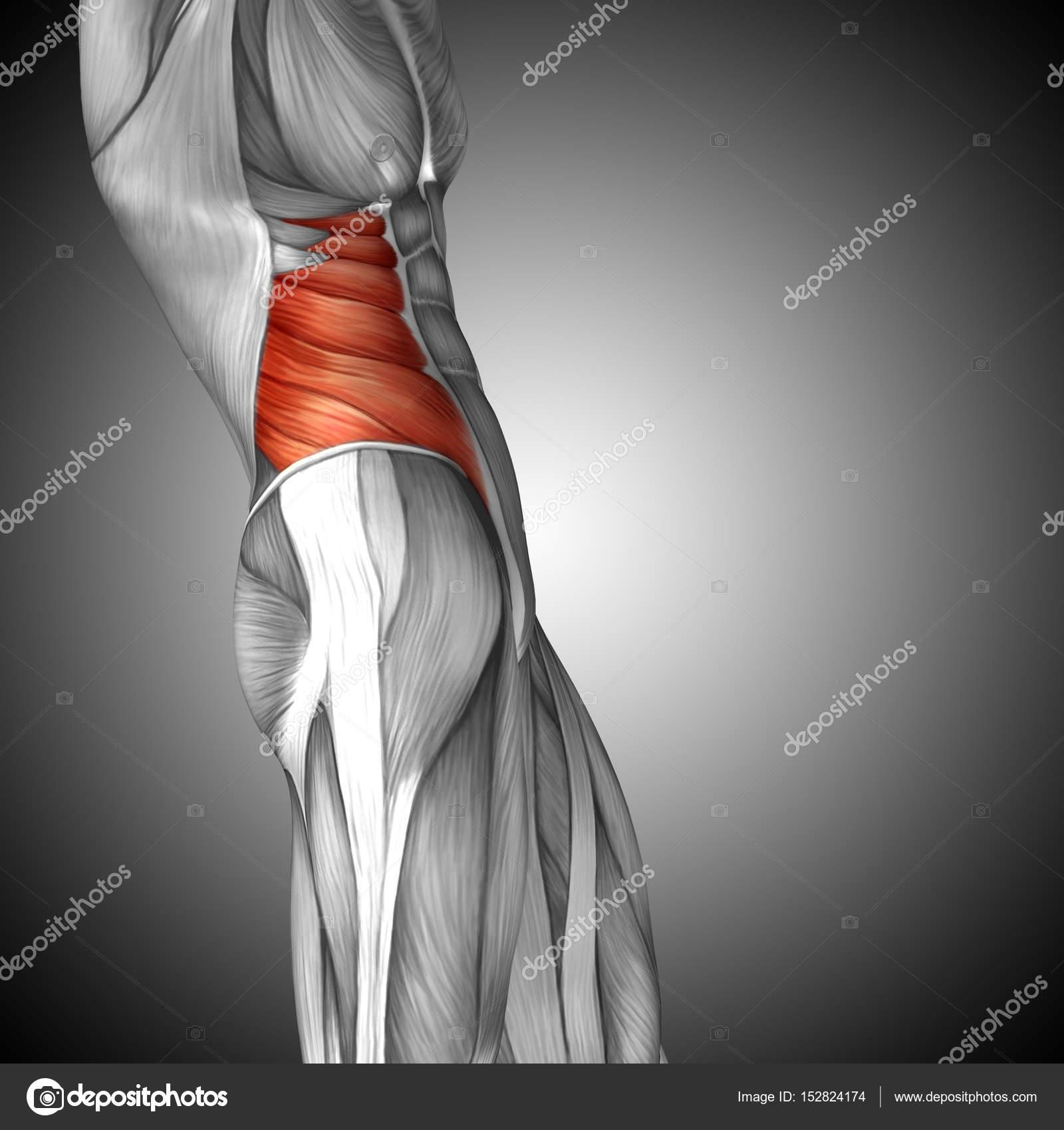 Anatomie der menschlichen Brust — Stockfoto © design36 #152824174