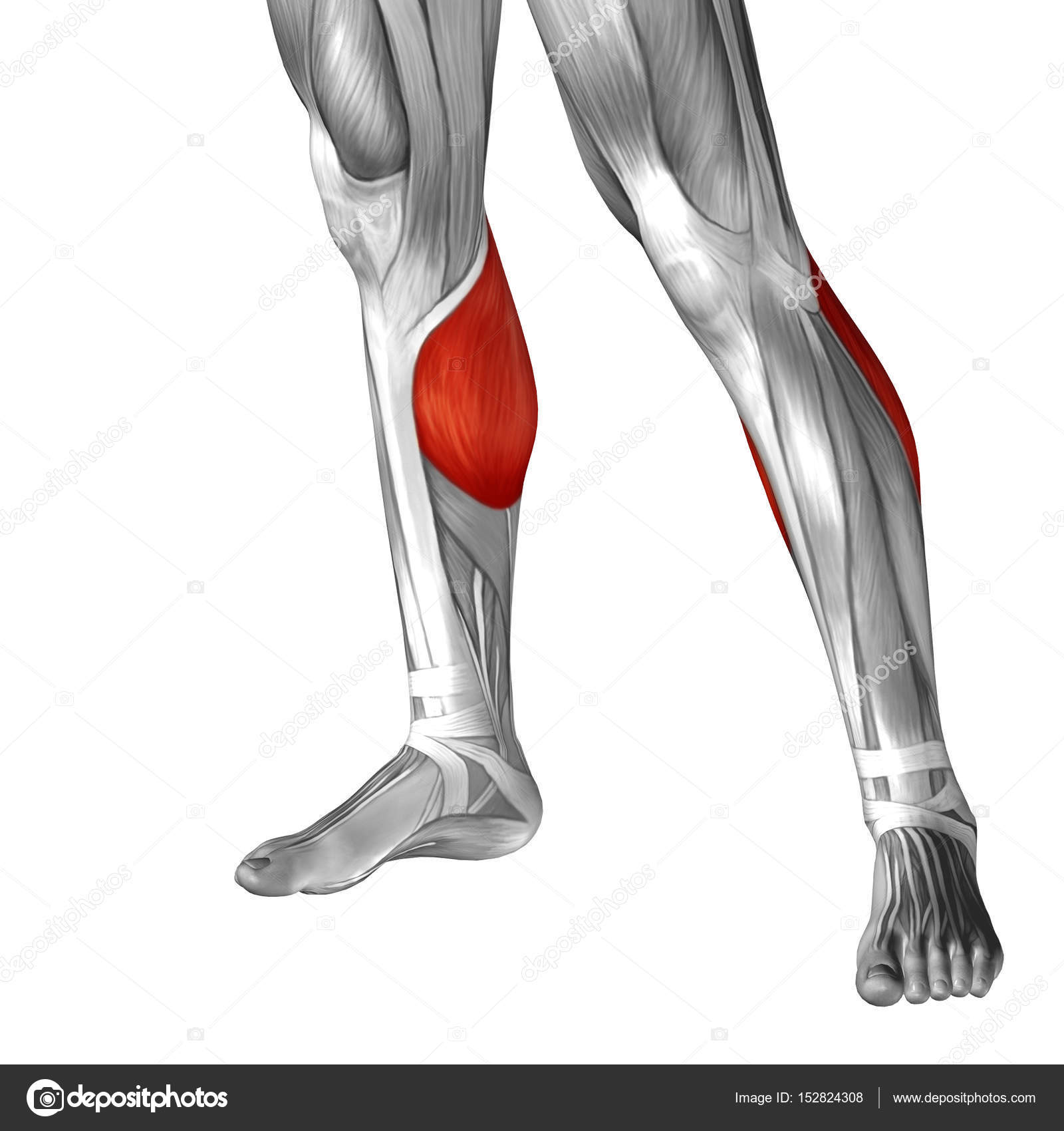 human lower legs anatomy — Stock Photo © design36 #152824308