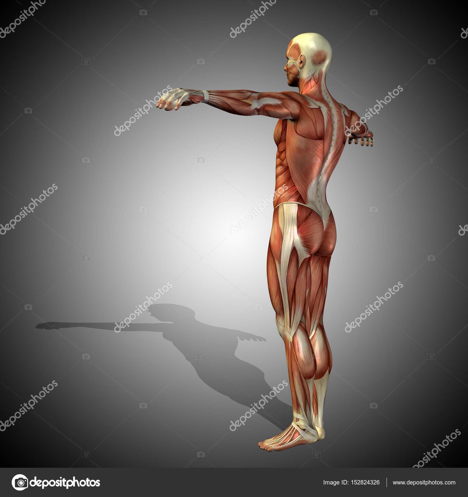 starke männliche Körper Anatomie — Stockfoto © design36 #152824326