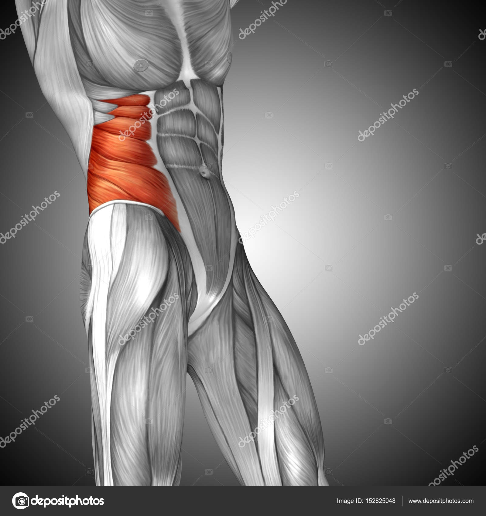 Anatomie der menschlichen Brust — Stockfoto © design36 #152825048