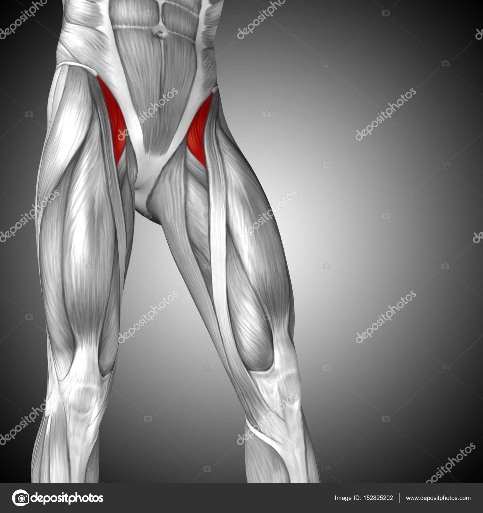 Perfect Upper Thigh Anatomy Embellishment - Human Anatomy Images ...