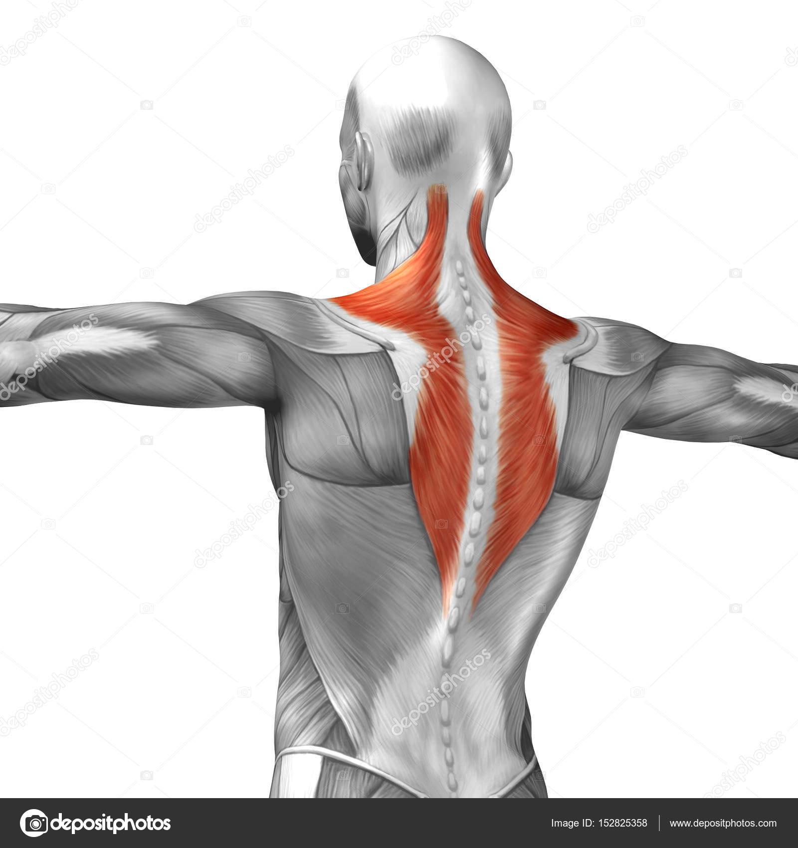 Anatomía de la espalda — Fotos de Stock © design36 #152825358