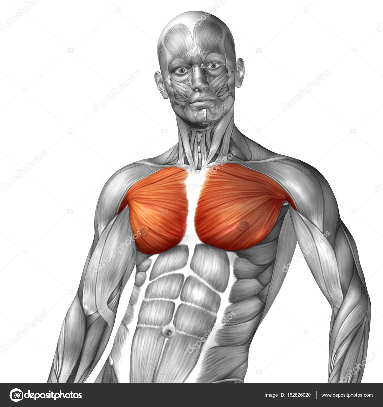 Human Chest Anatomy Stock Photo Design36 152826020