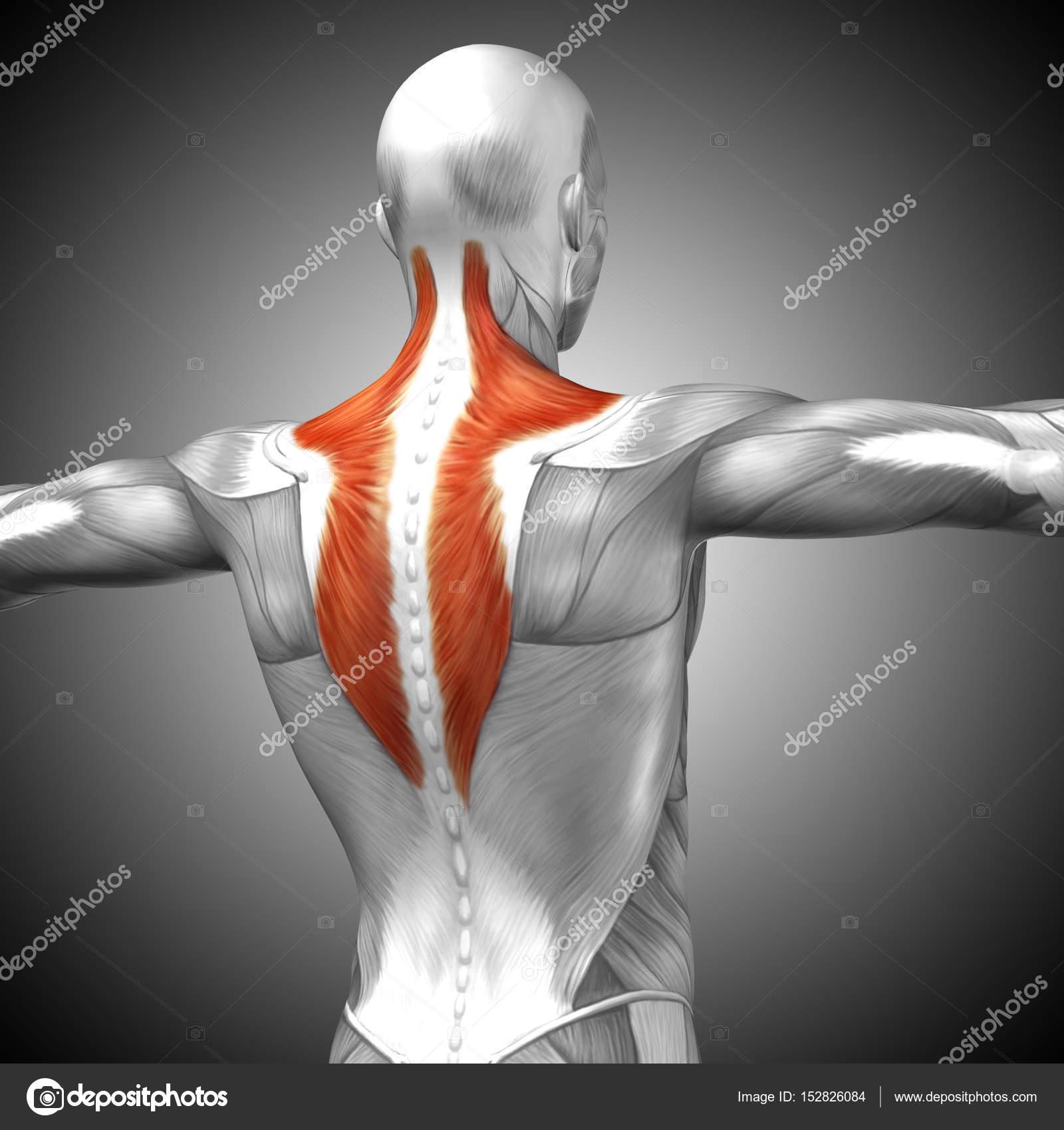 Anatomía de la espalda — Fotos de Stock © design36 #152826084