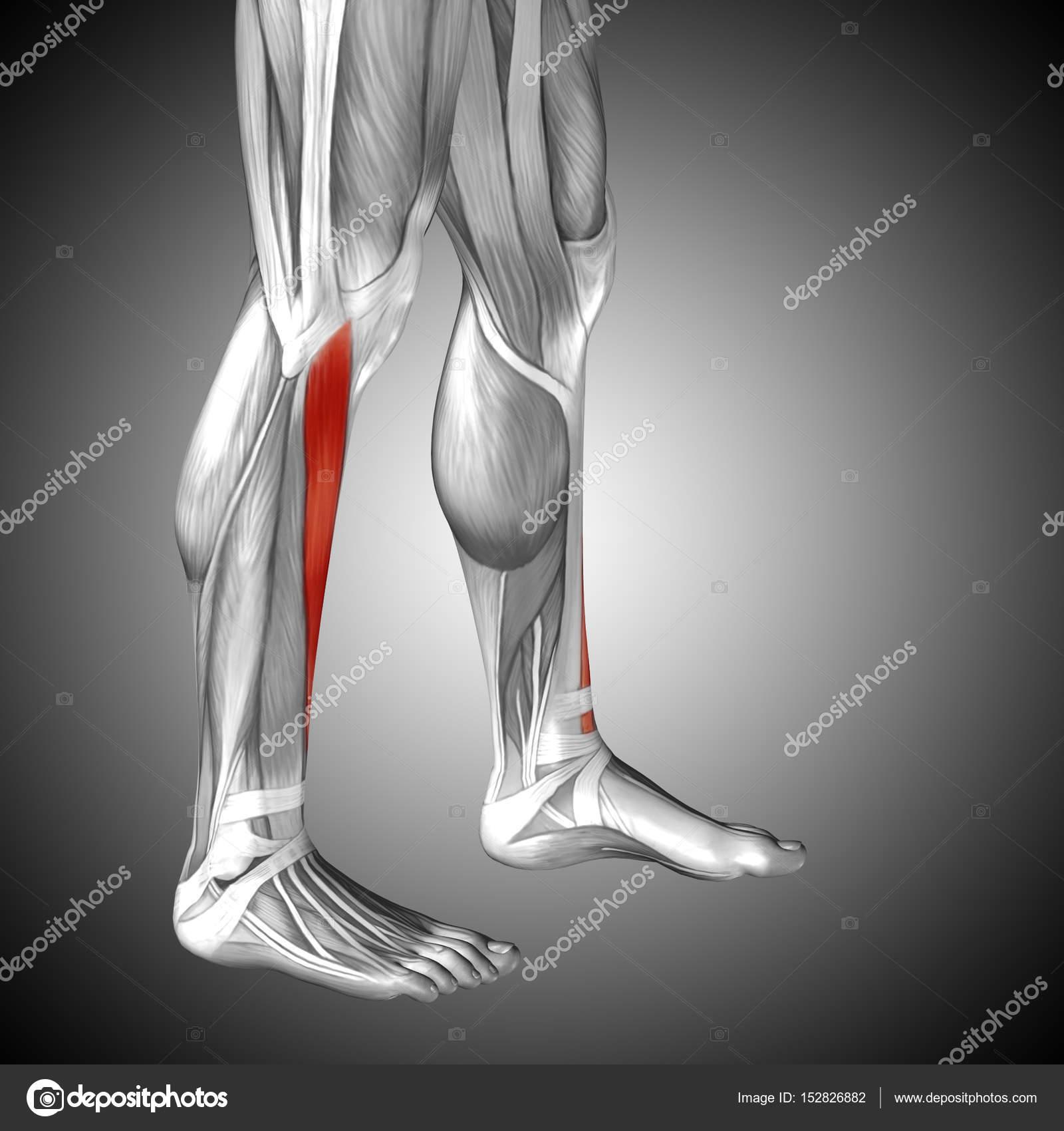Ziemlich Anatomie Der Unteren Extremität Muskeln Bilder - Anatomie ...