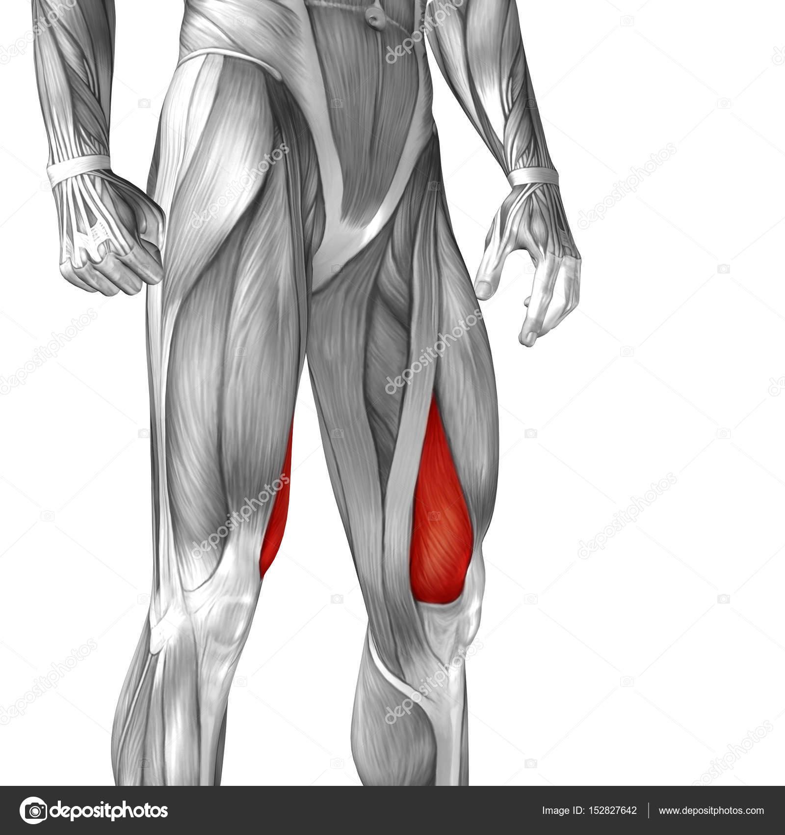 menschliche Oberschenkel-Anatomie — Stockfoto © design36 #152827642