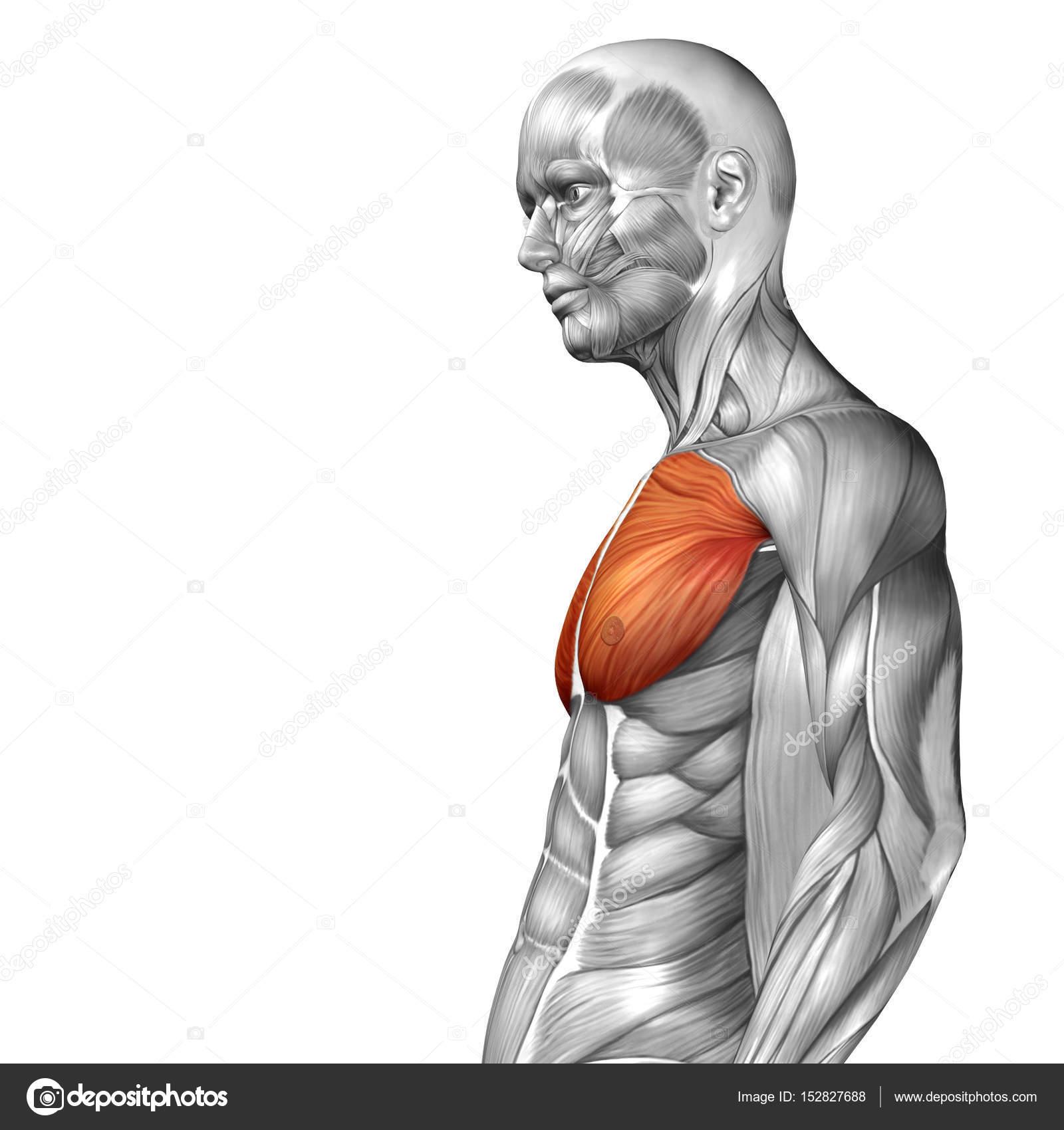 Anatomie der menschlichen Brust — Stockfoto © design36 #152827688