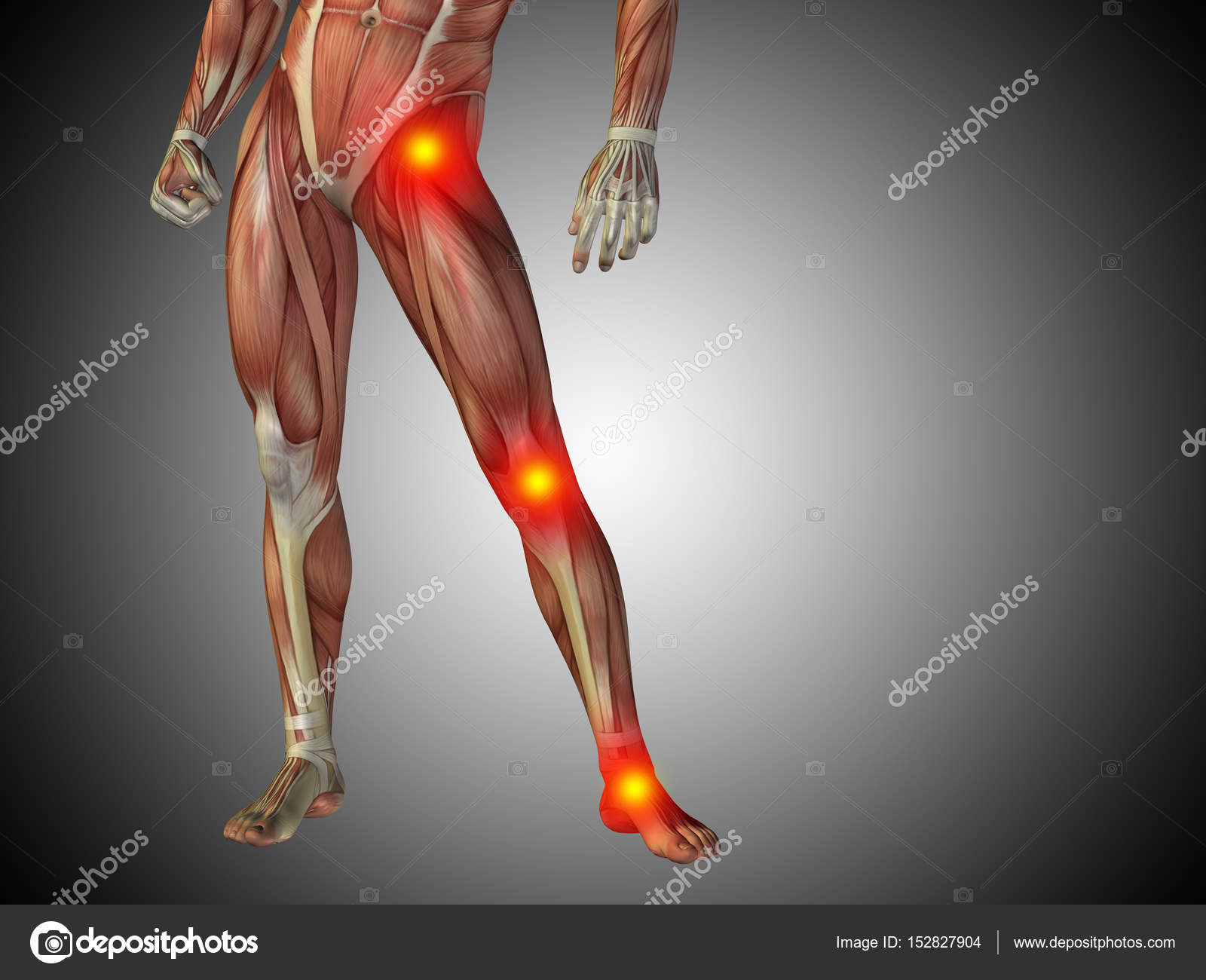 Human Lower Body Anatomy Stock Photo Design36 152827904