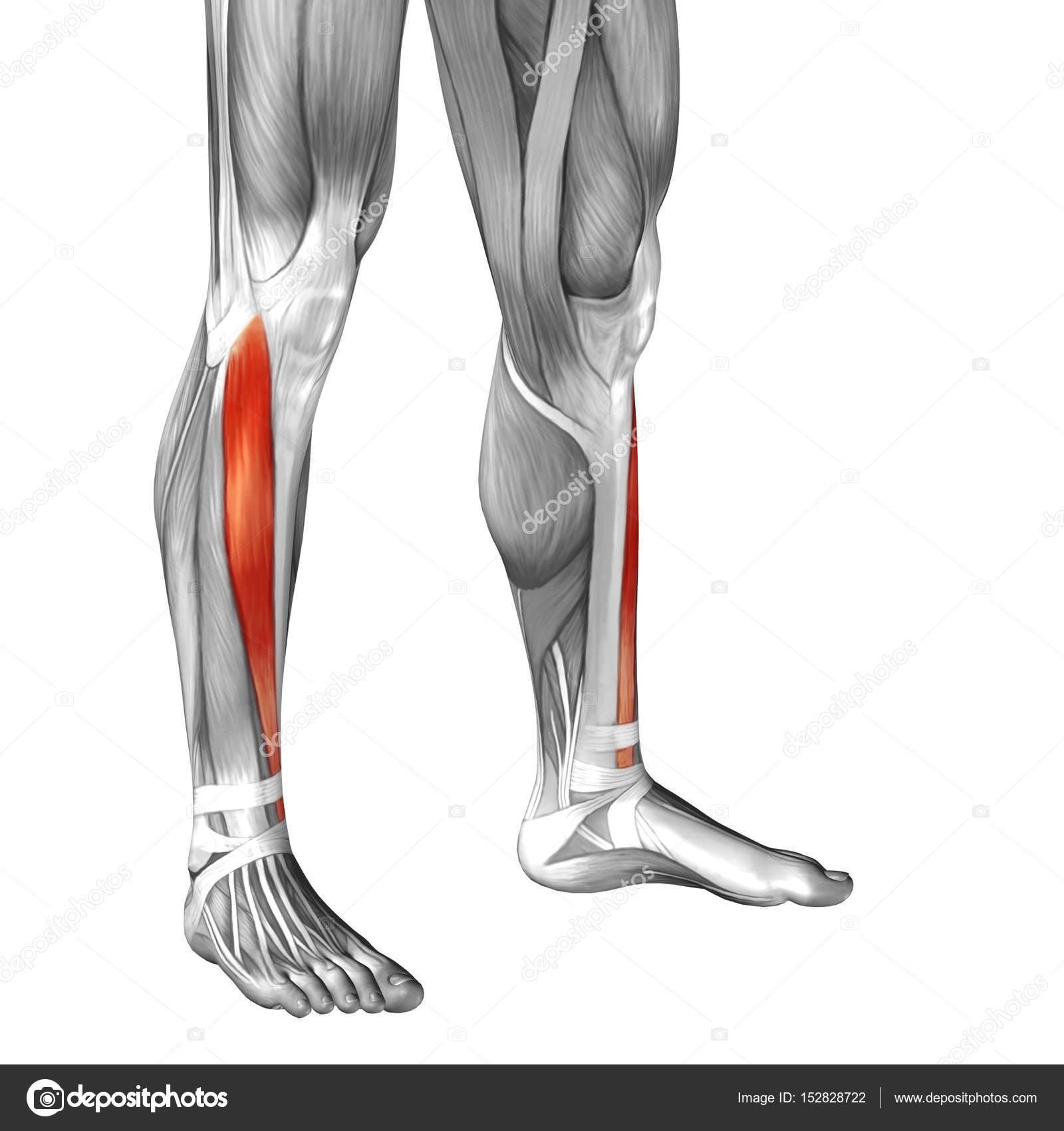 Human Lower Legs Anatomy Stock Photo Design36 152828722
