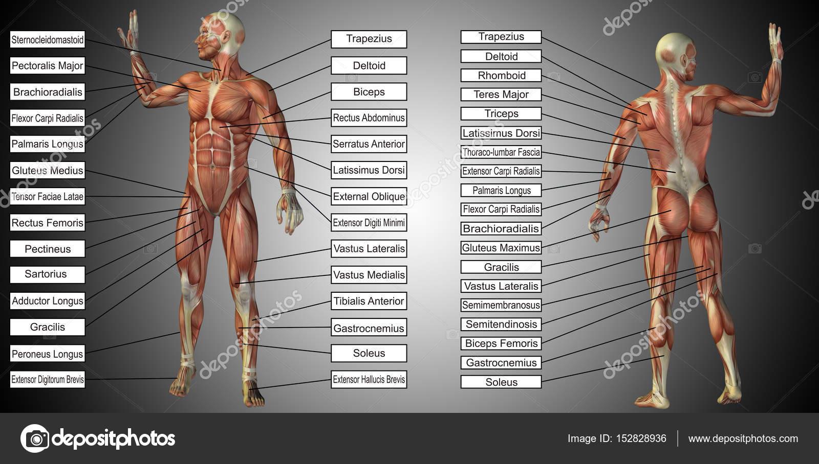 männlich oder menschliche Anatomie — Stockfoto © design36 #152828936