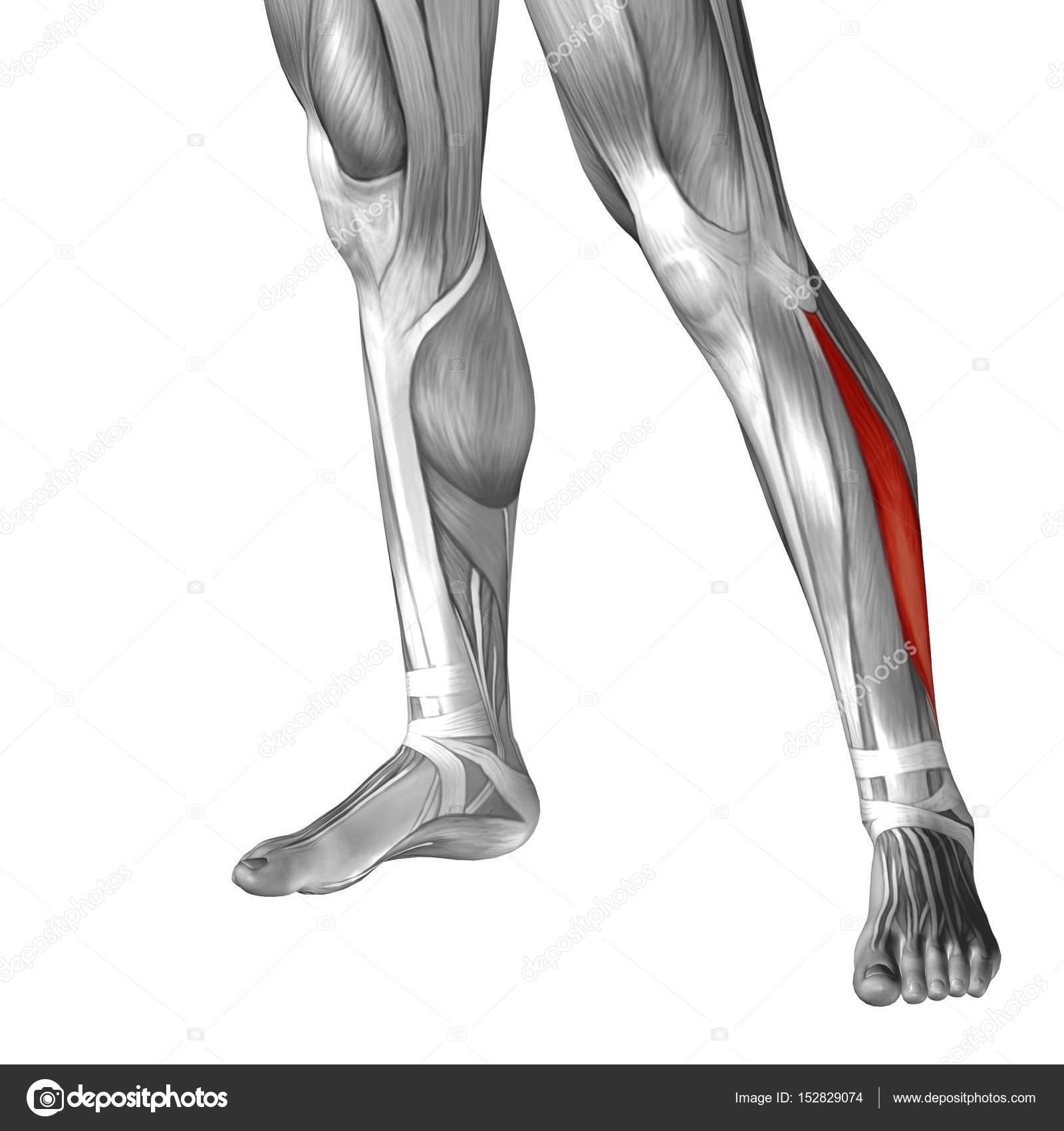 Anatomie der unteren Beine — Stockfoto © design36 #152829074